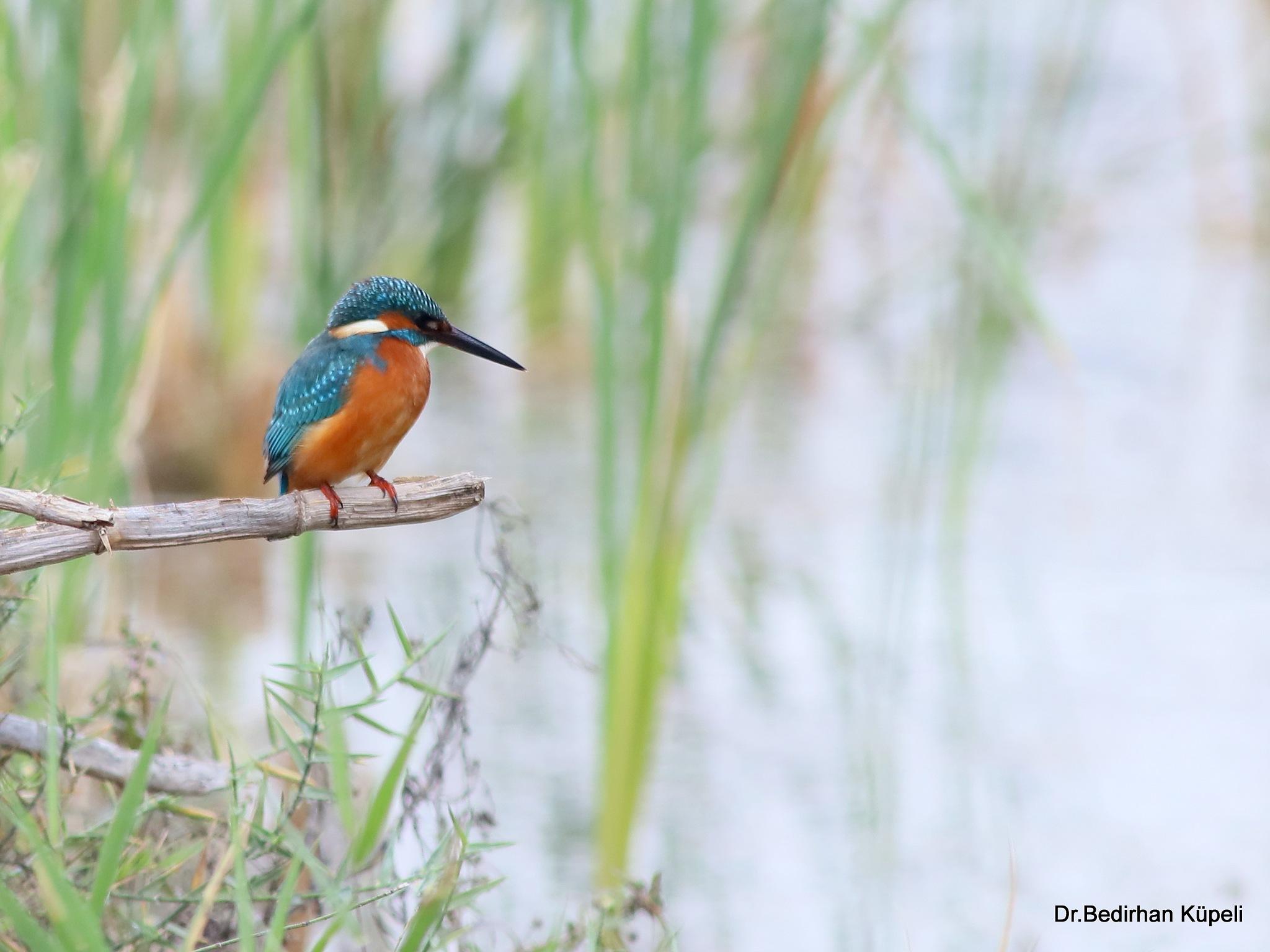 Photo in Animal #kingfisher #bird #animal #nature #bedir #bedirhan #outdoor #canon #ornito #colorful #blue #green #white #black #red #orange #branch #feeding #food #wild #wildlife