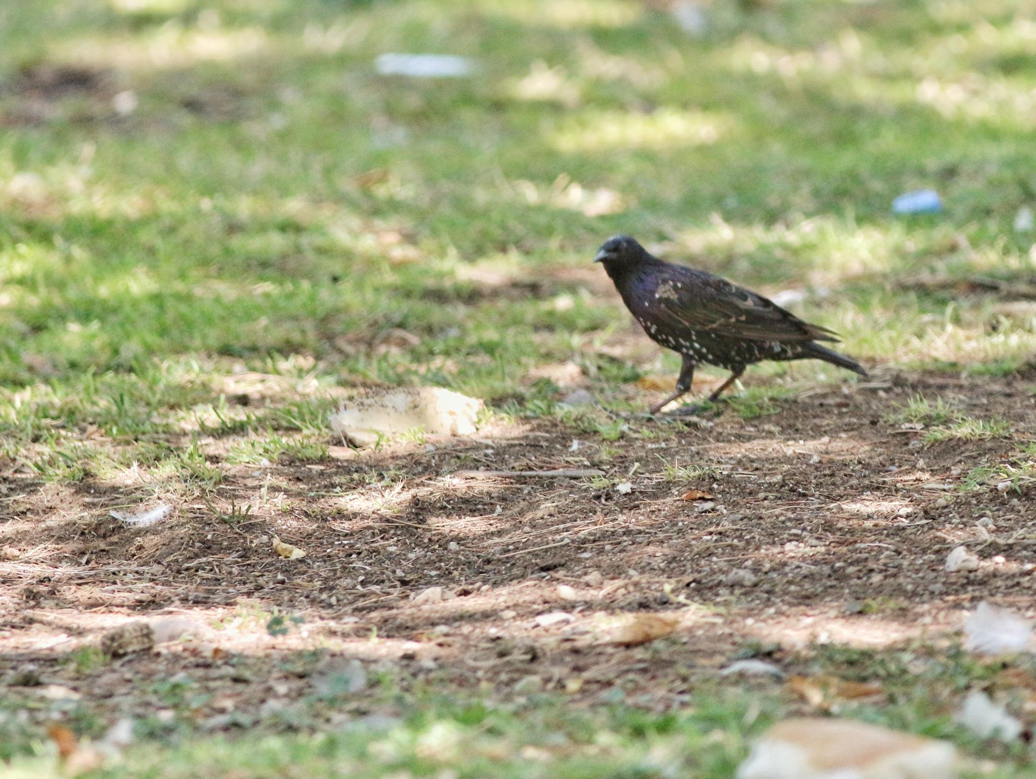 Starling... by Bedirhan Küpeli
