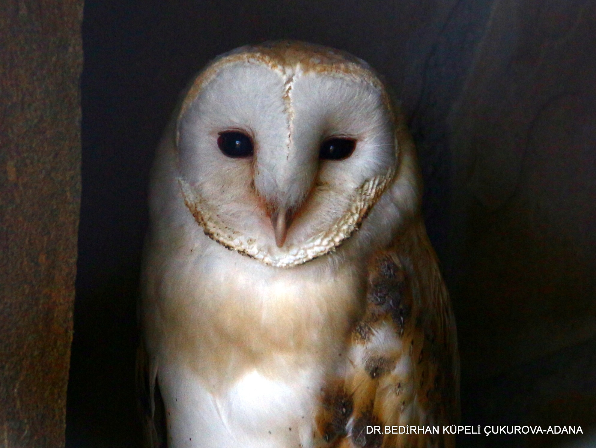 Portrait of The Western Barn Owl... by Bedirhan Küpeli