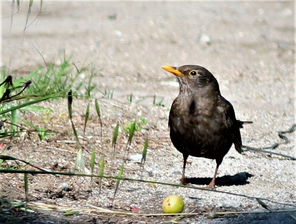 7140.... Blackbird is eating olive... by Bedirhan Küpeli