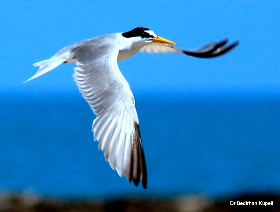 4923...Little Tern... by Bedirhan Küpeli