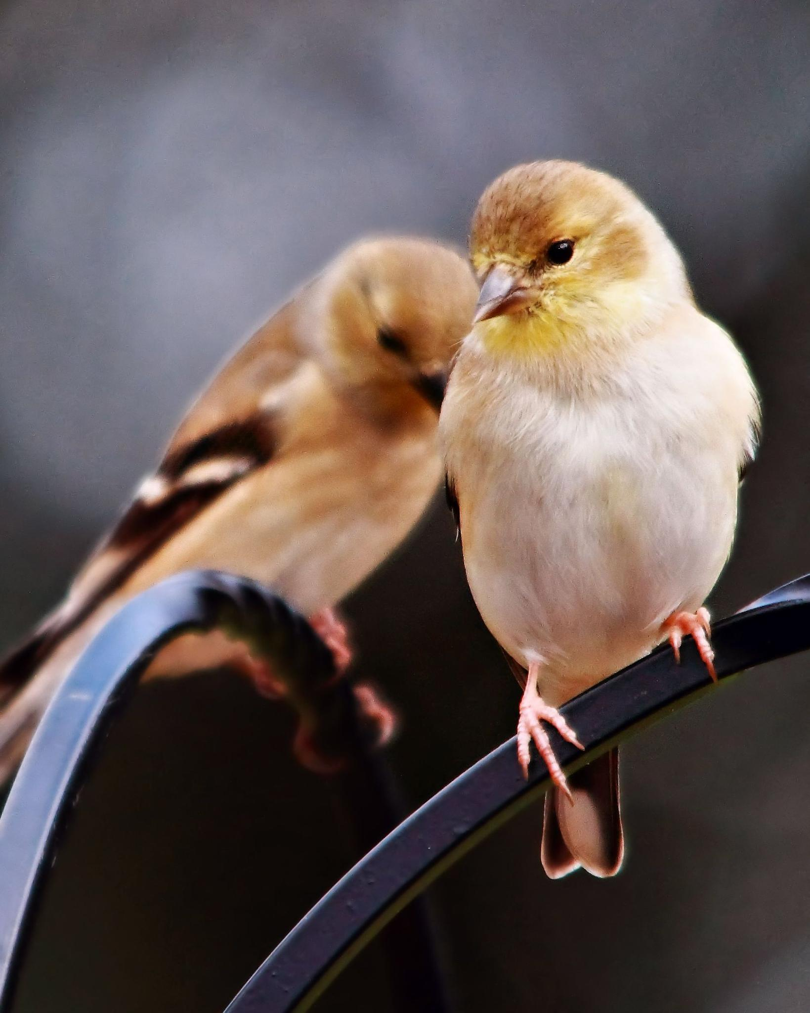American Goldfinches by Maxie