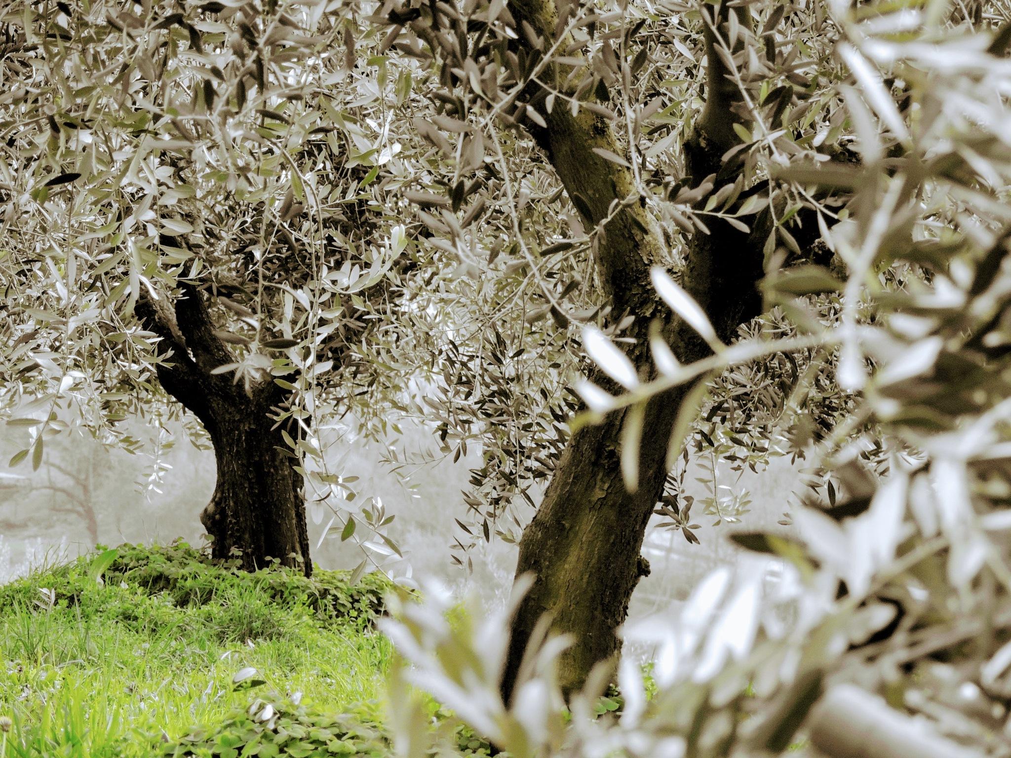 Olives Garden by Damiano Mozzato
