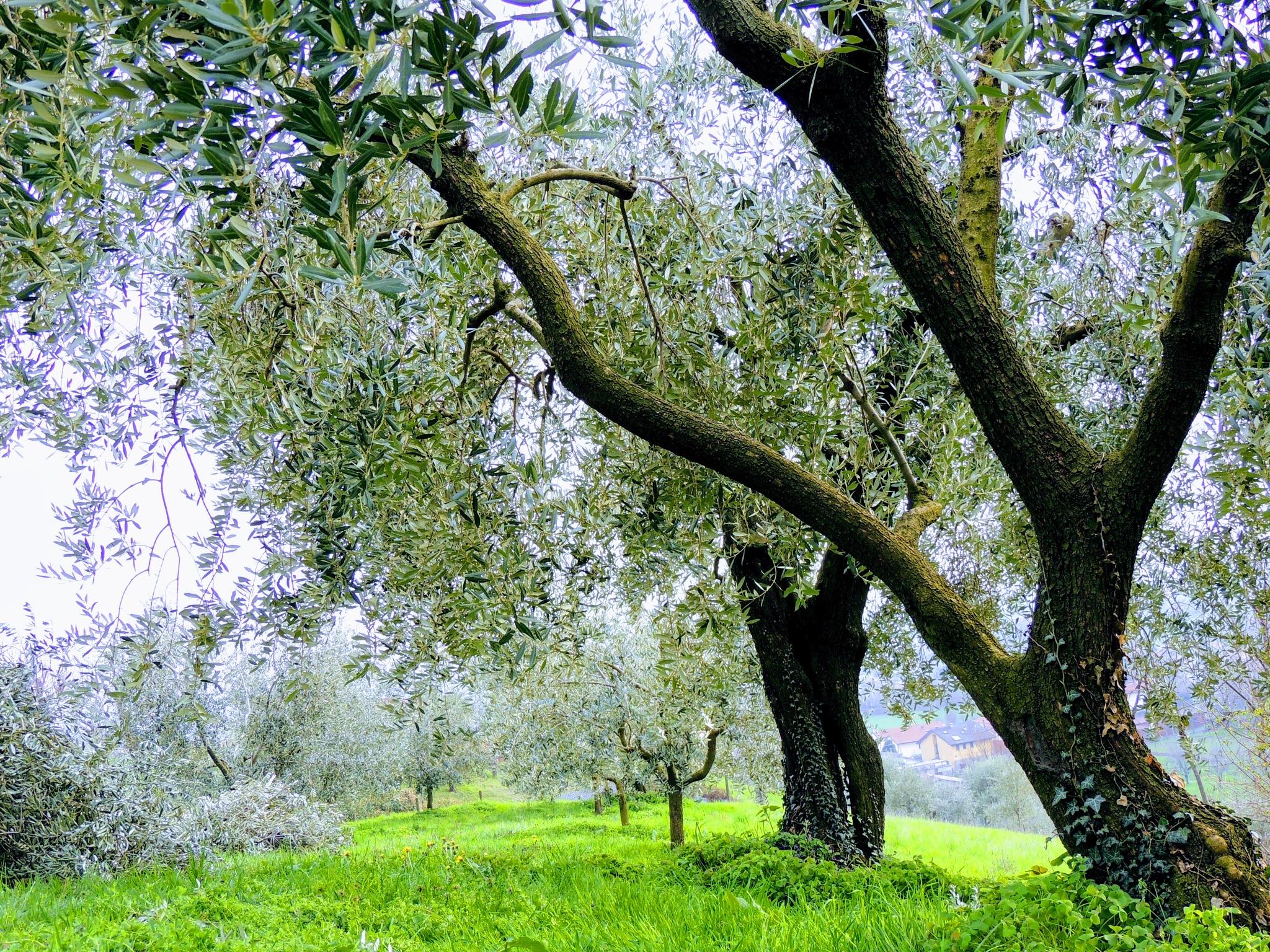 Olives by Damiano Mozzato