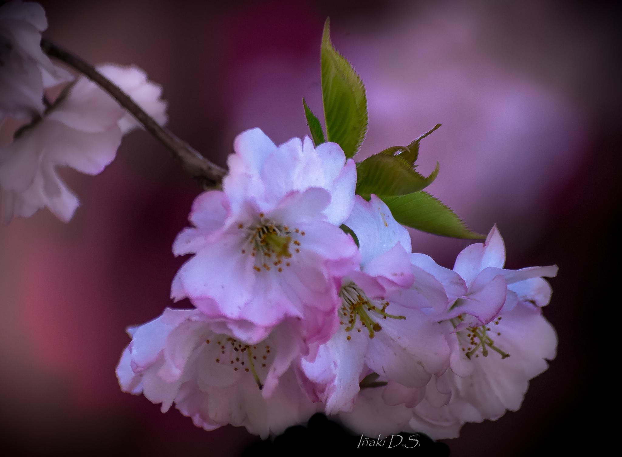 primavera en rosa by inaki.domin