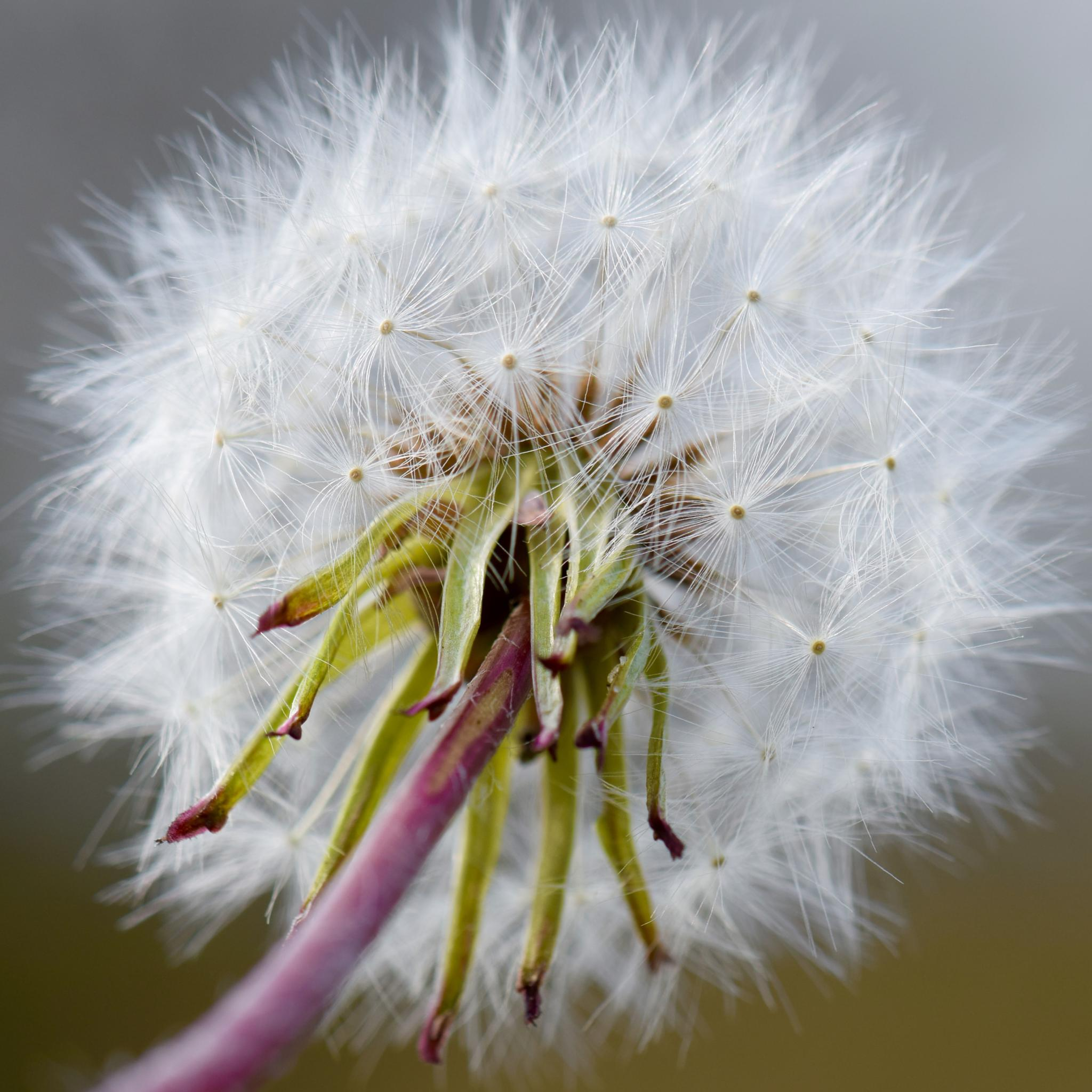 Dandelion flower seed head II. by Niels Dam