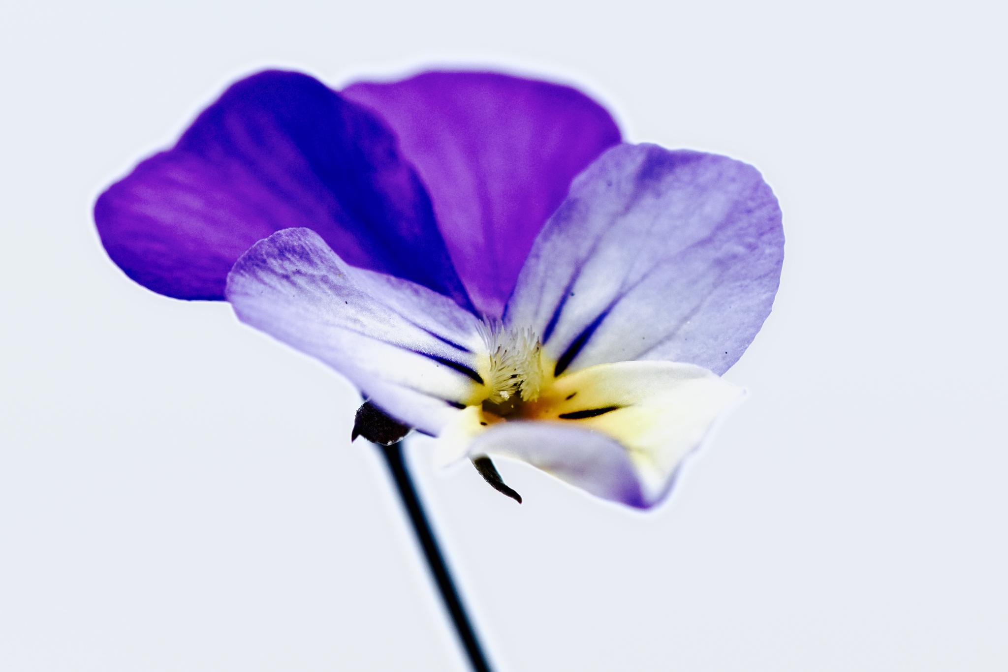 Viola flower. by Niels Dam