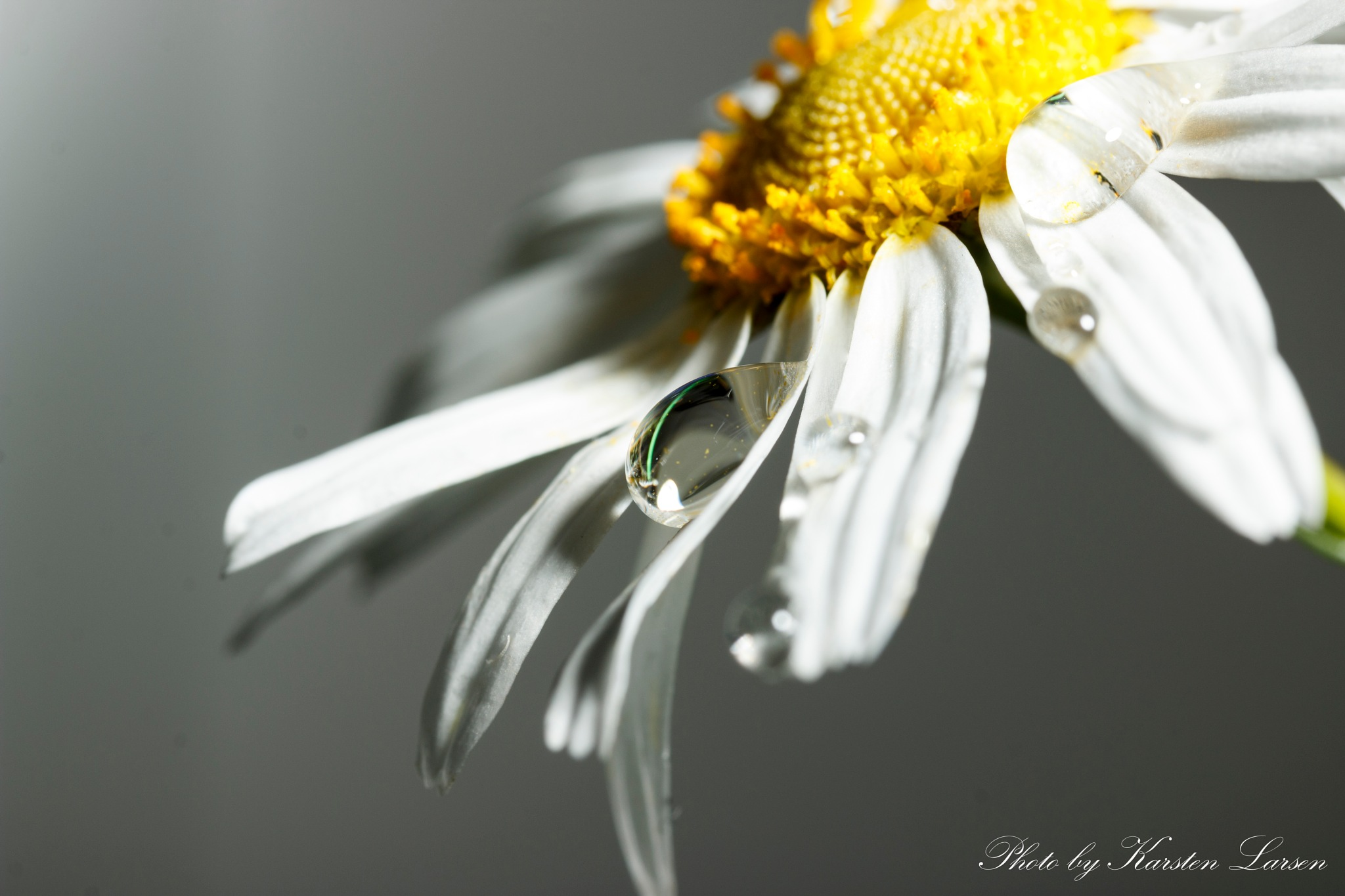 Marguerites with waterdrops by Karsten Larsen