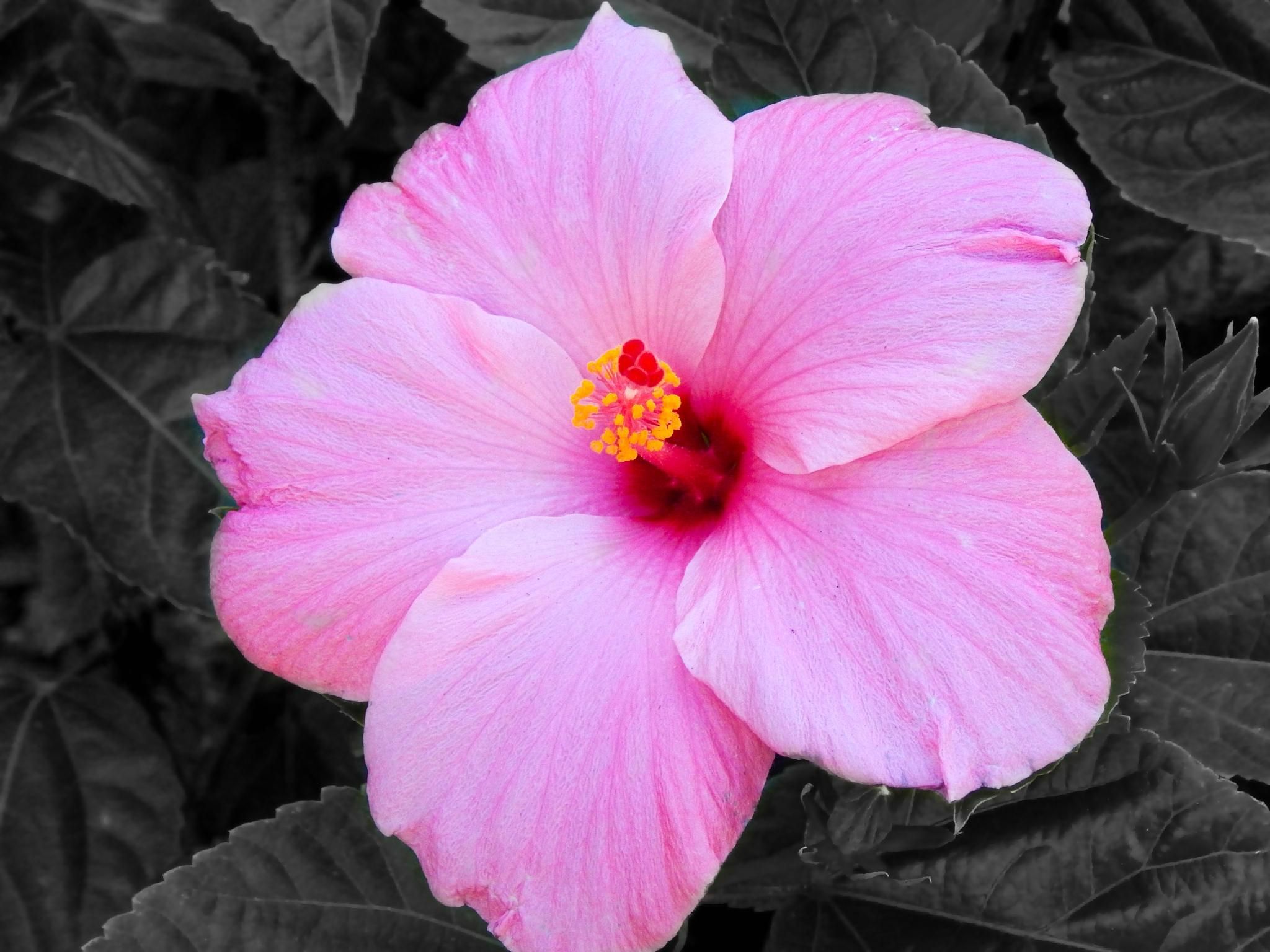 Color Accent Hibiscus by pamwallis