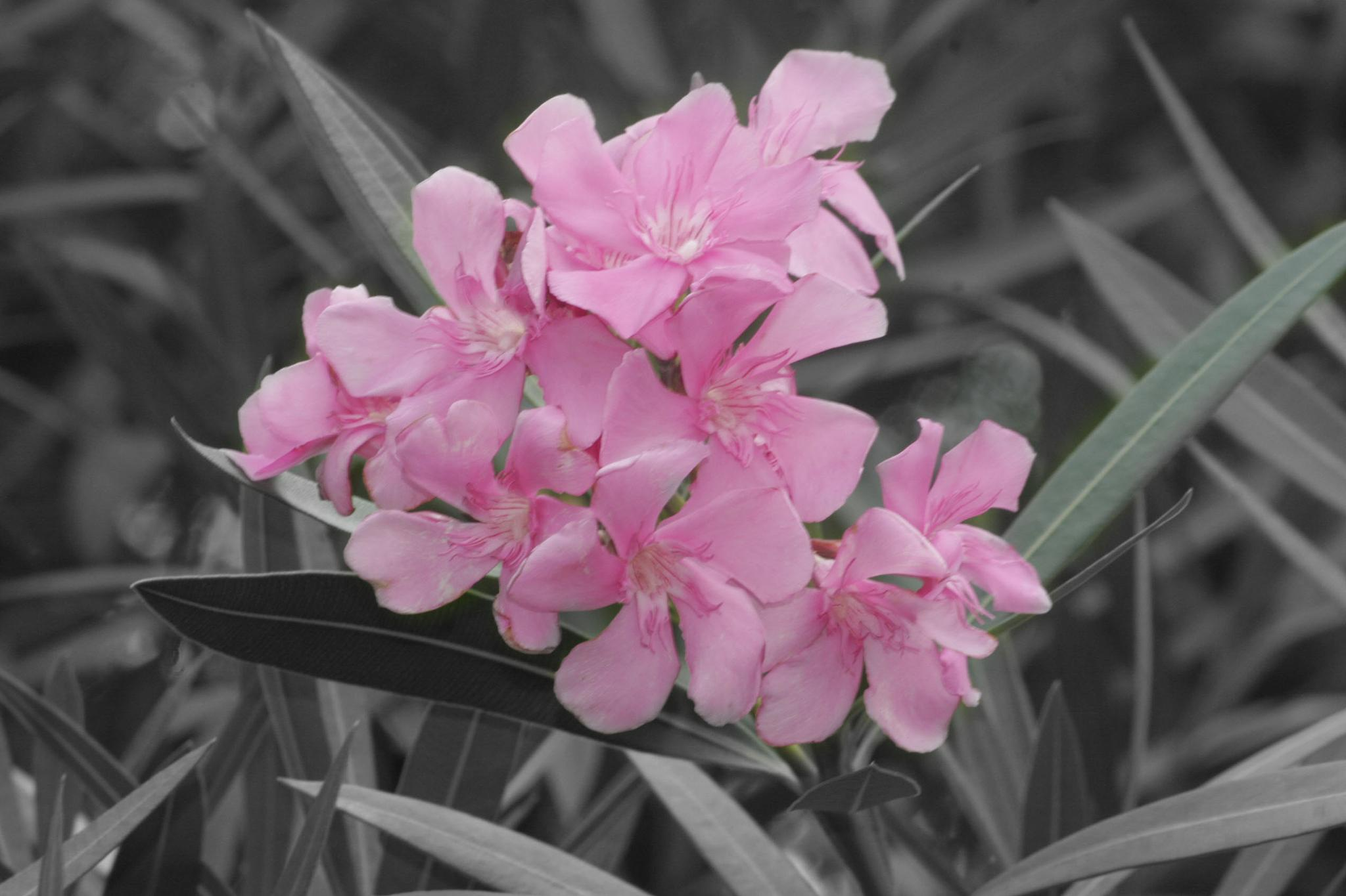 Pink Color Accent Flowers by pamwallis