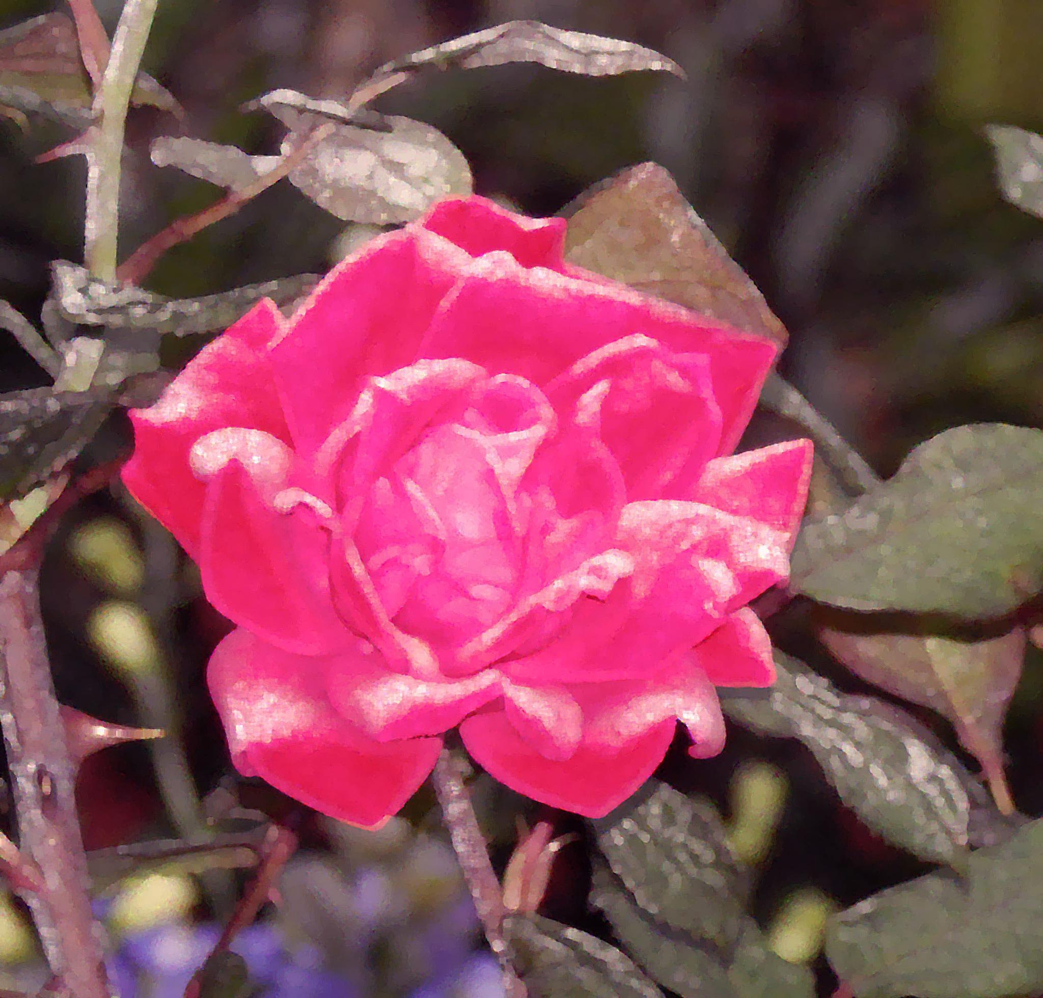 Fine Art Rose by pamwallis