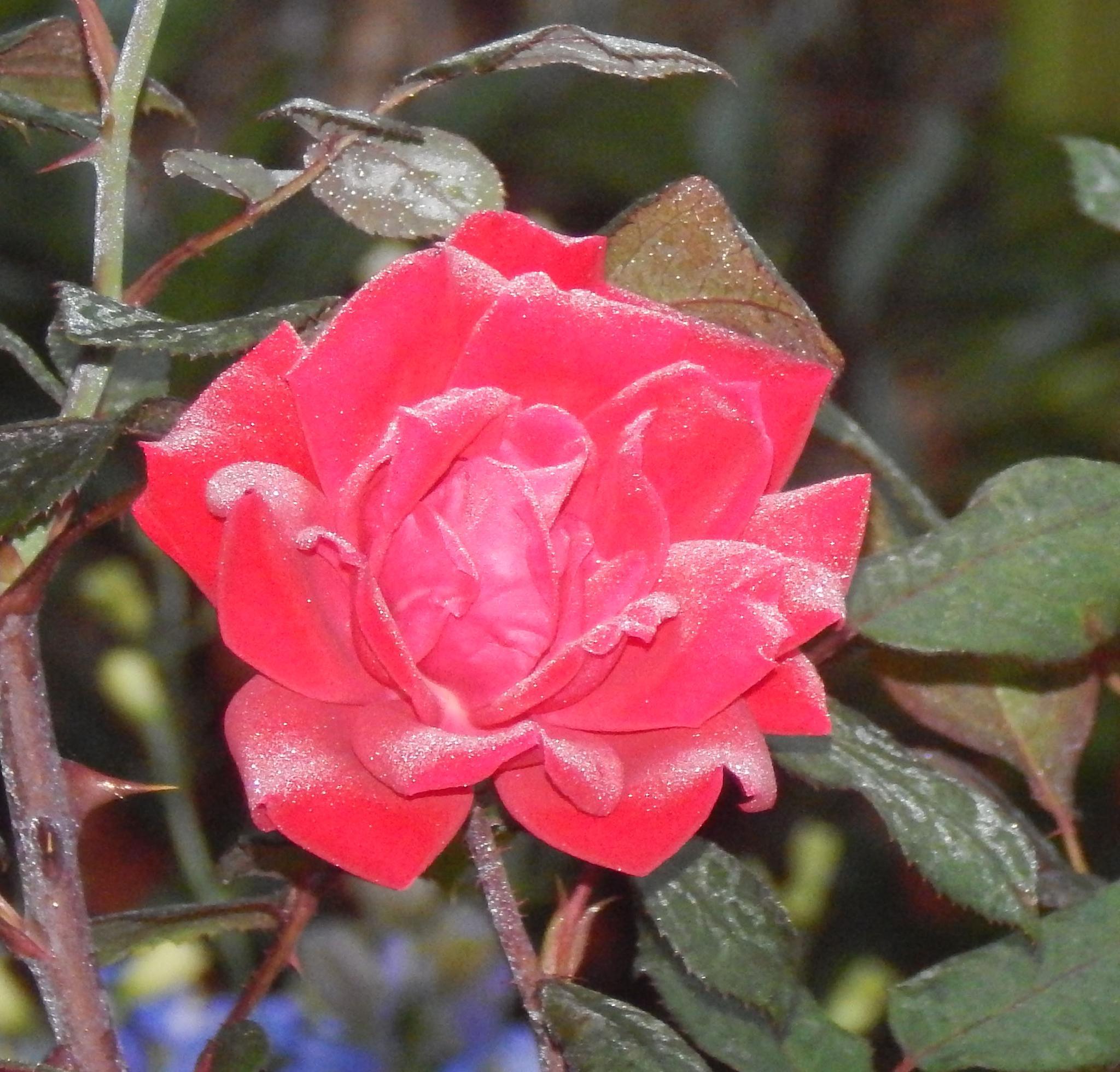 Rose by pamwallis