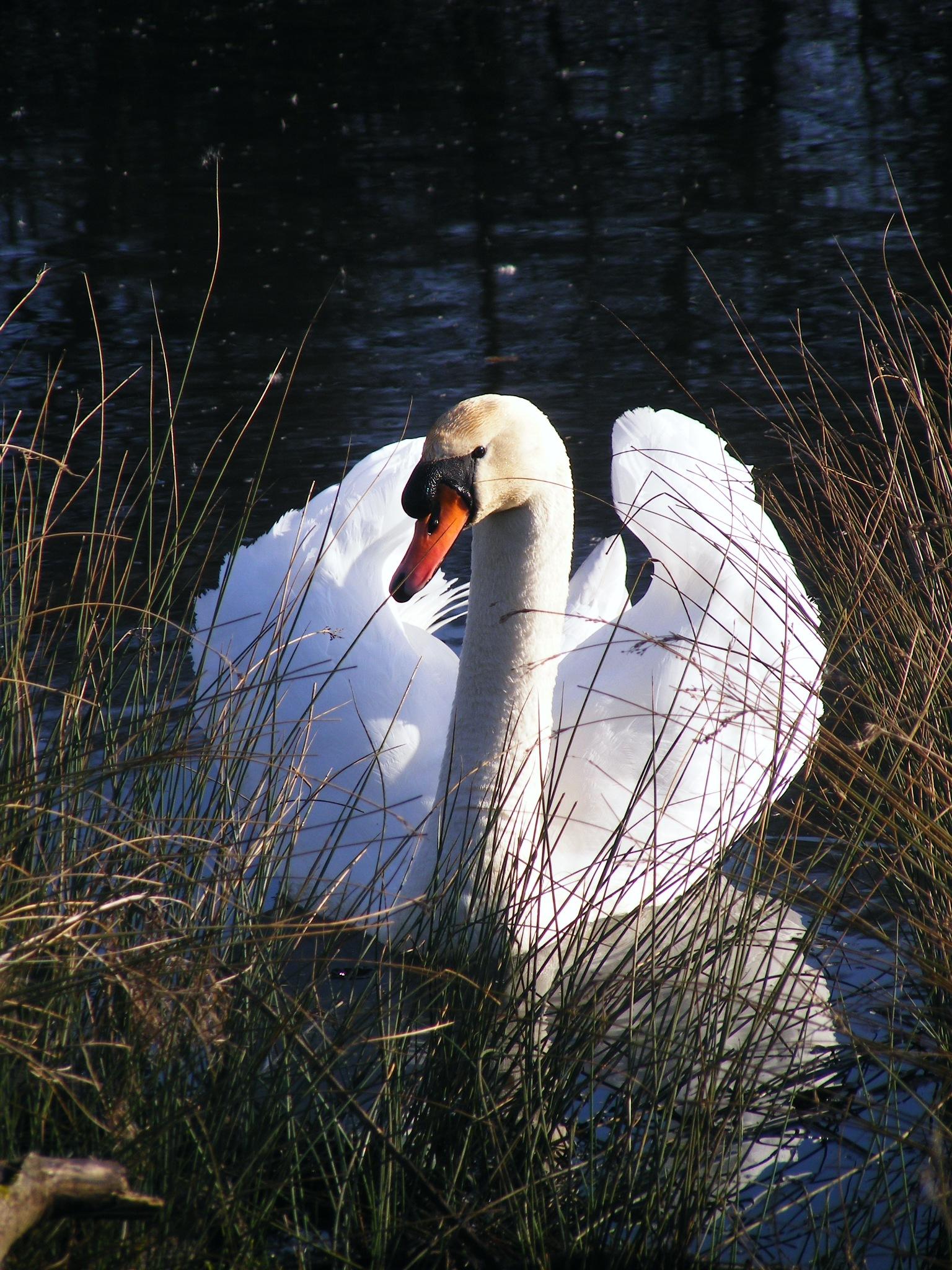 Swan by chasserwild