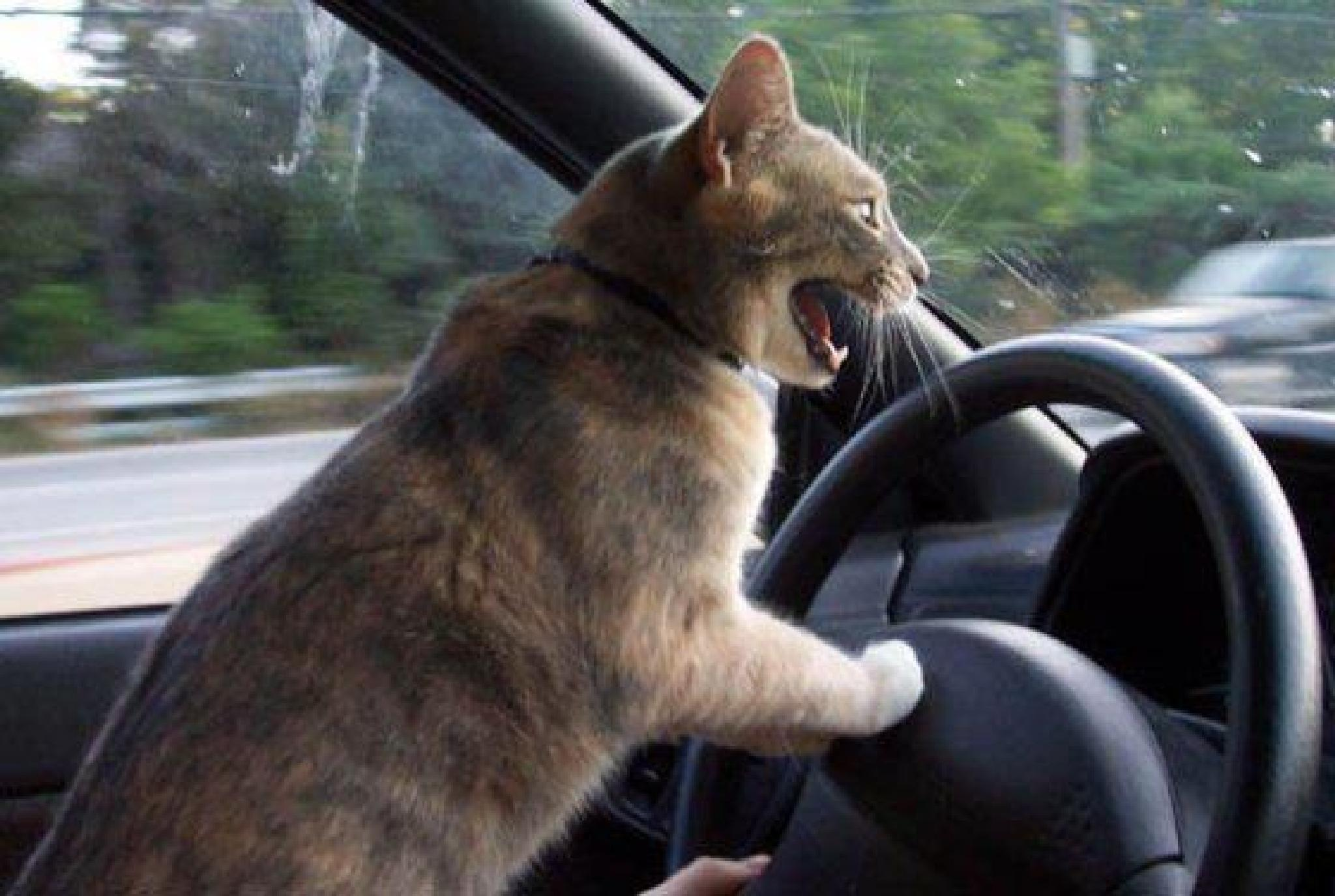 Cat Road Rage by susan.bailey.1