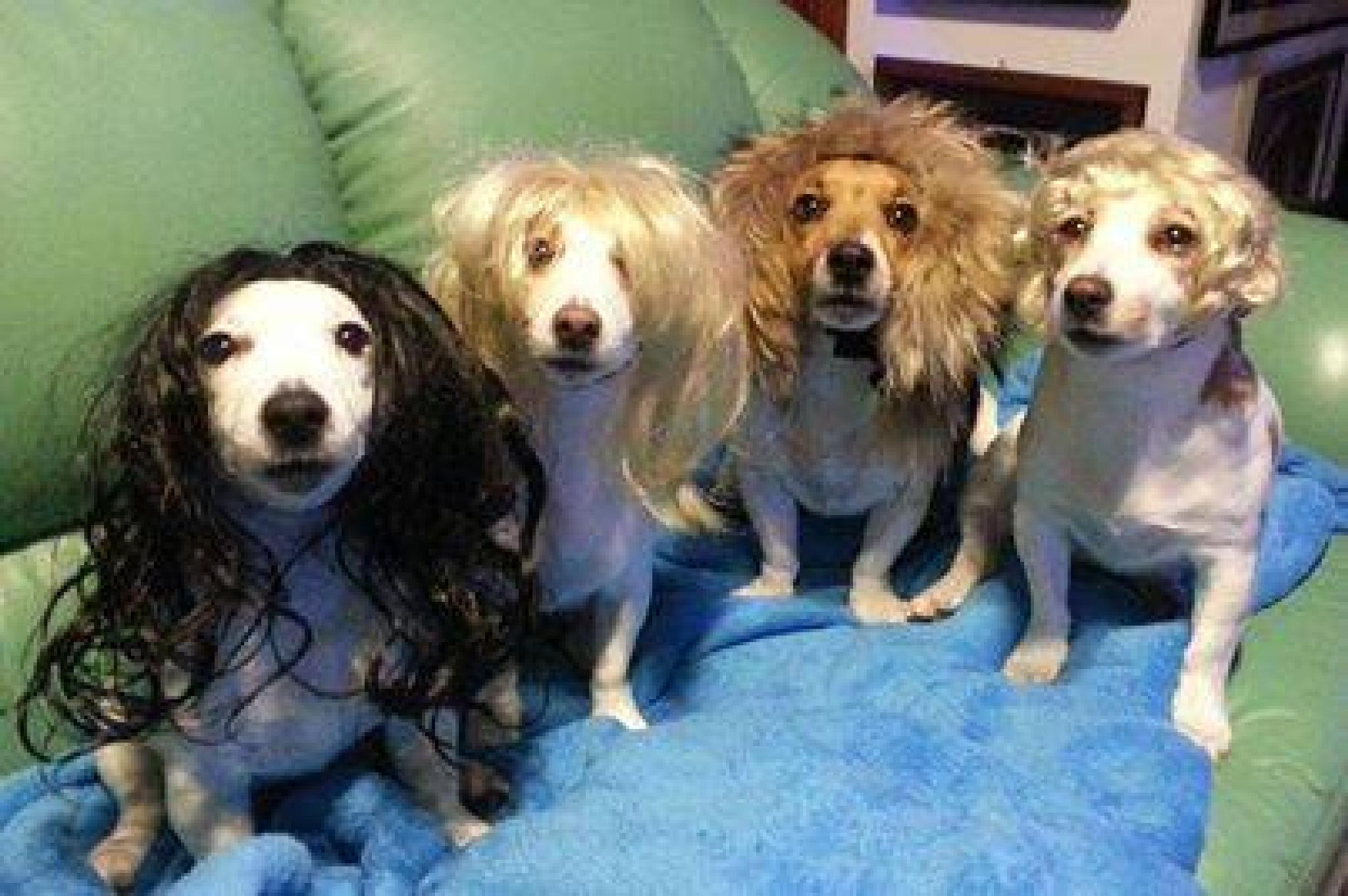 Jack Russell Terriers in Wigs by susan.bailey.1