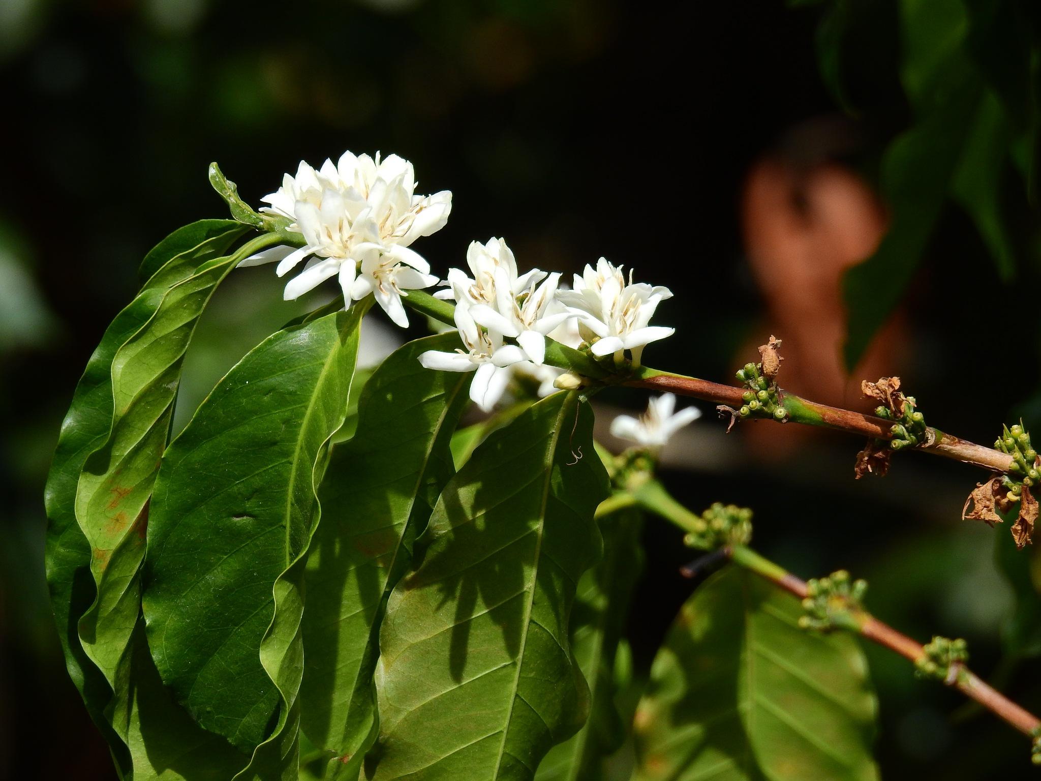 Flor de café by KAMAQUECHI