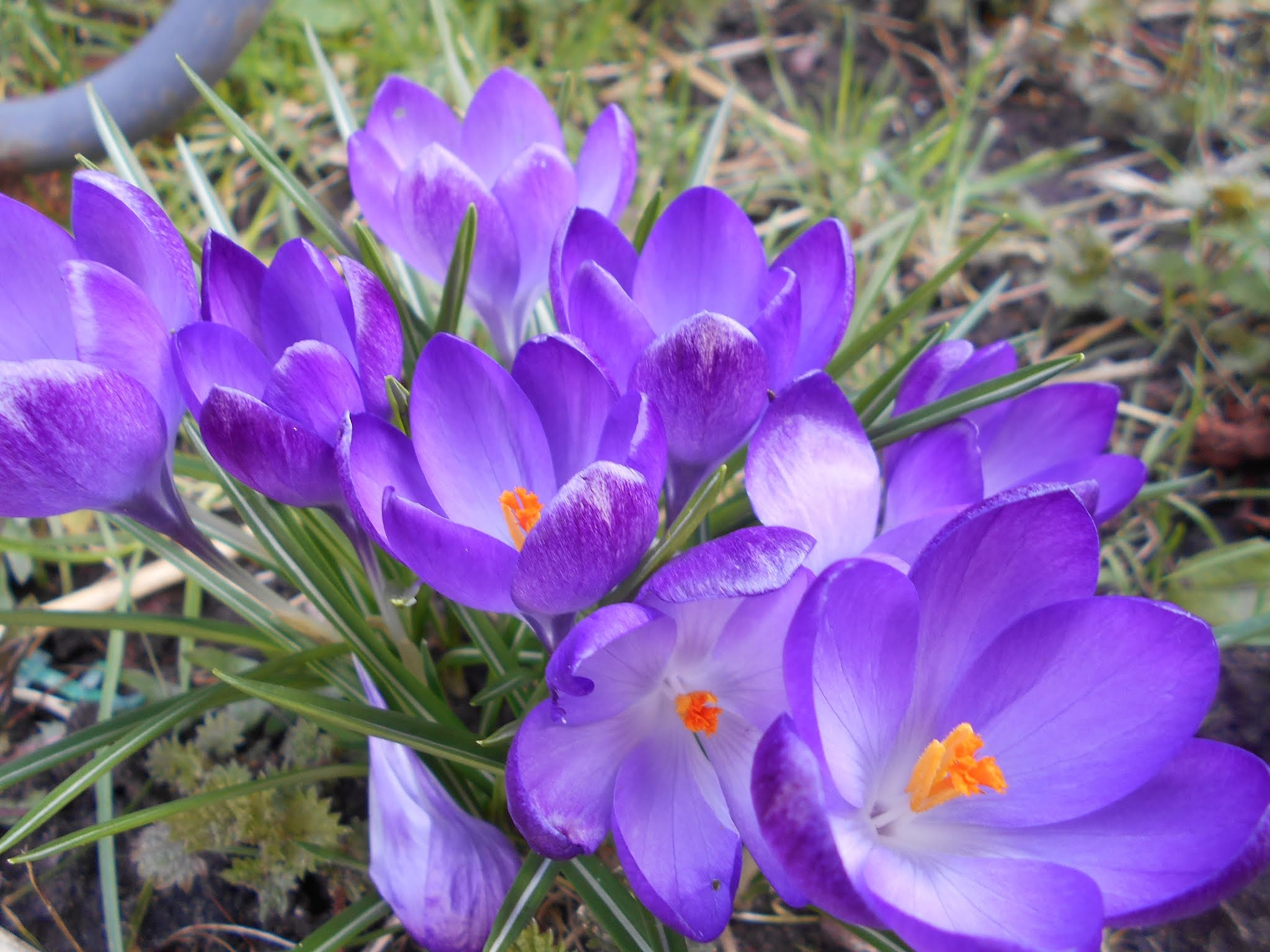 Satin leaves of a crocus. by bestwick.annette