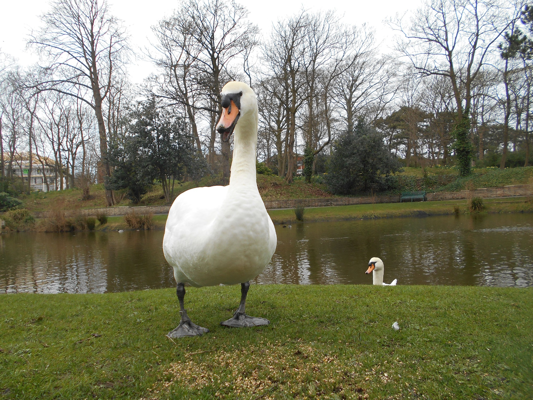 Swan giggles. by bestwick.annette