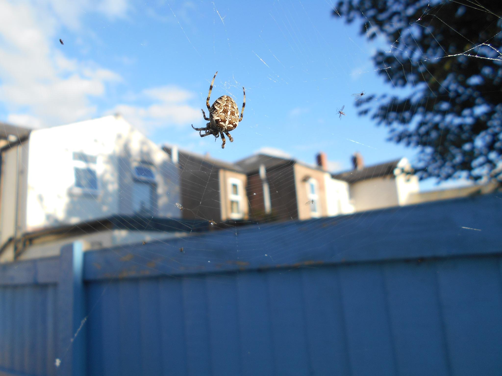 Garden spider. by bestwick.annette