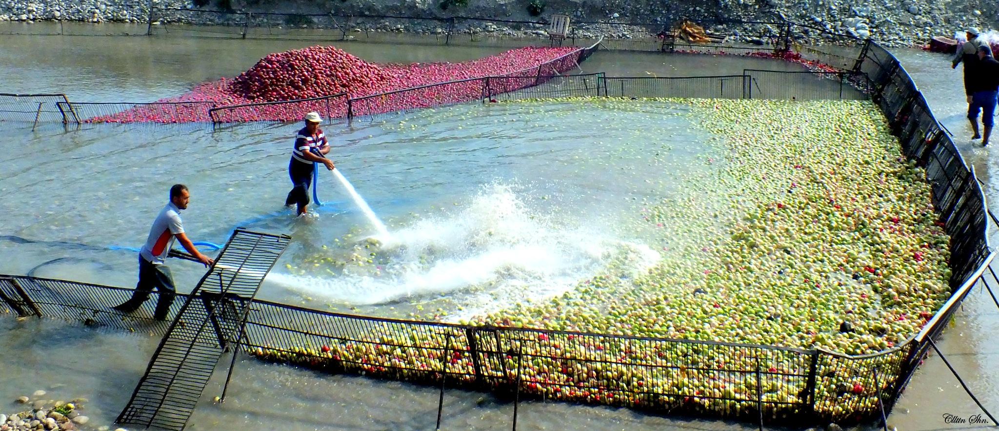 Radish harvest by Celalettin Şahin