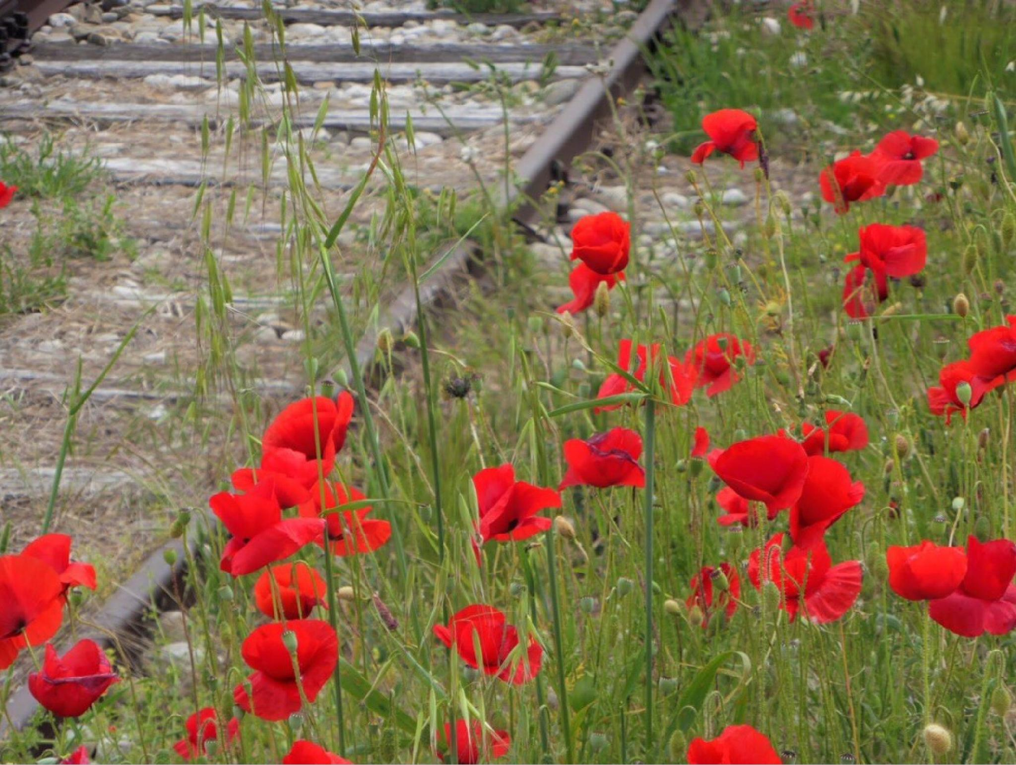 Old track train and poppies by mirella.barteloni