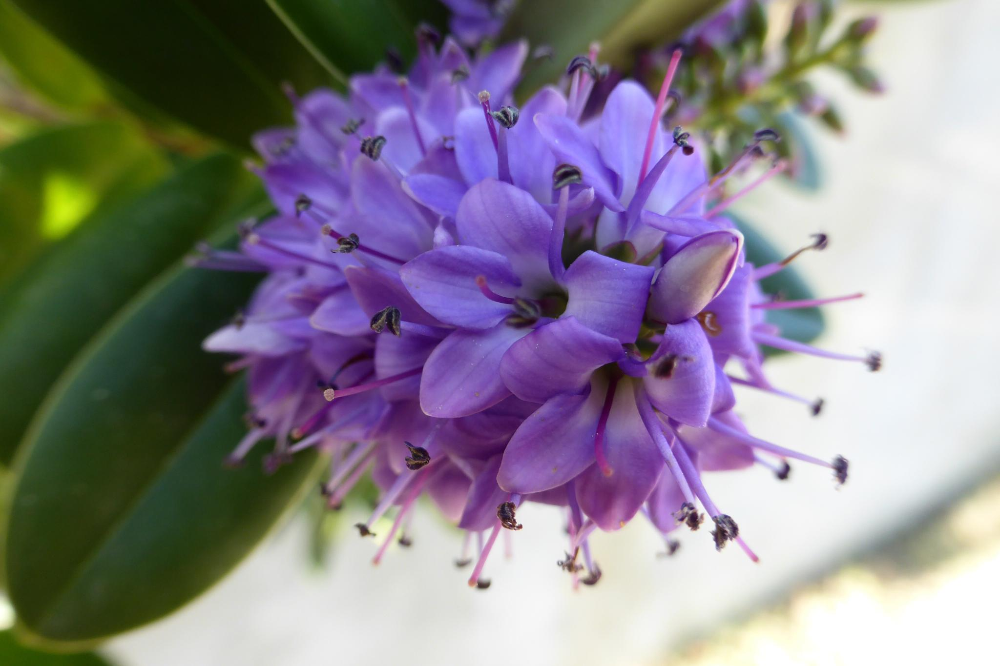 Unknown violet flower by mirella.barteloni