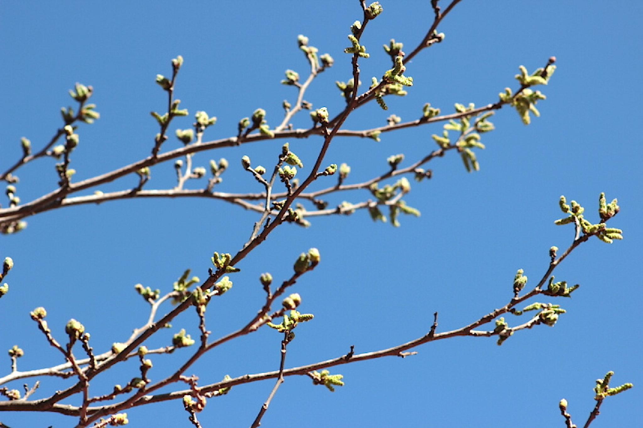 Budding Mulberry Tree by Enchanted Seashells by Princess Rosebud