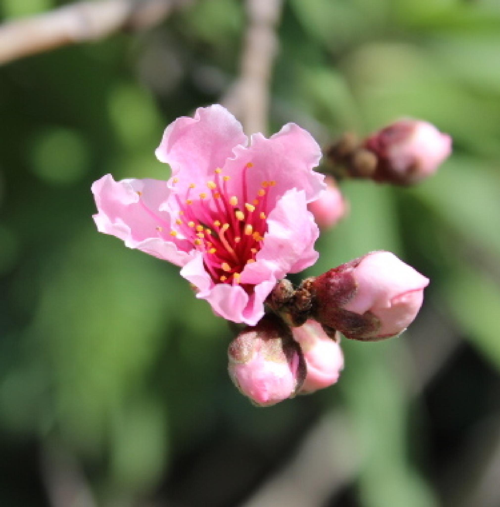 Nectarine in Flower by Enchanted Seashells by Princess Rosebud