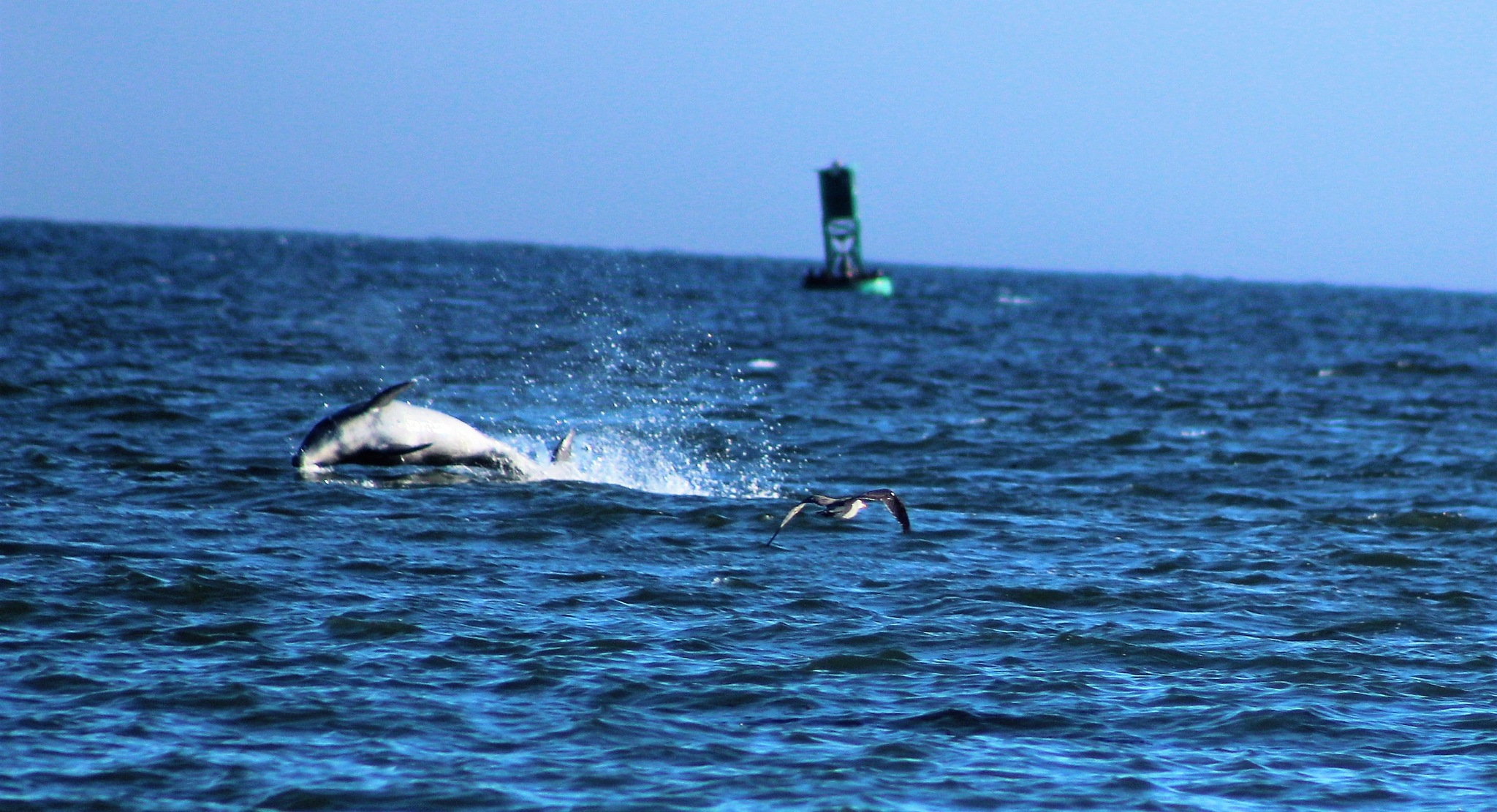 #Dolphin at play by T.Neil Walker