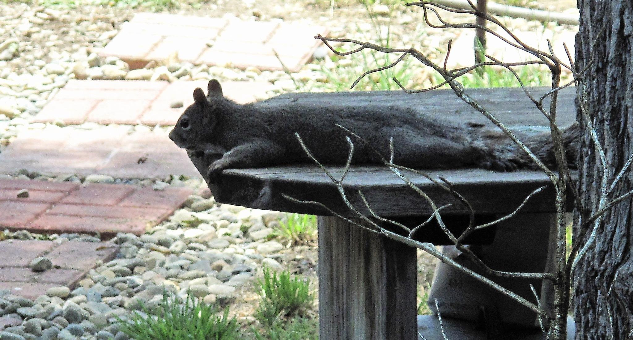 Lazy Squirrel  by T.Neil Walker