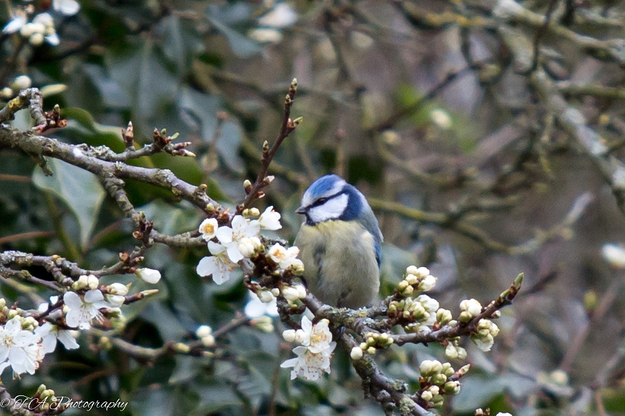 Blue Tit among the blossom by Terry Adams