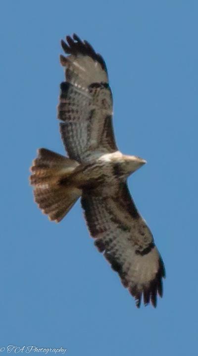 Photo in Animal #buzzard #bird of prey #blue sky #bird #animal #nature #flight