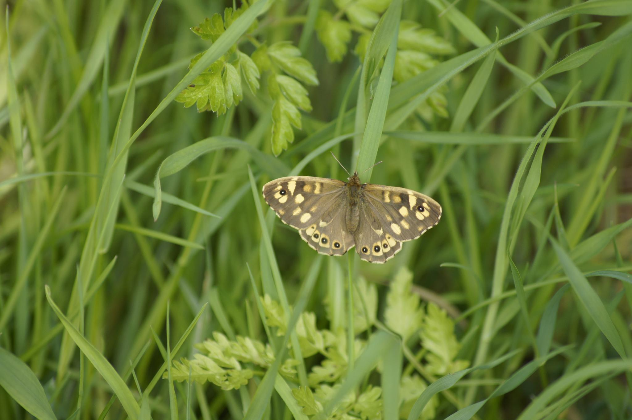 Speckled Wood Butterfly by Terry Adams