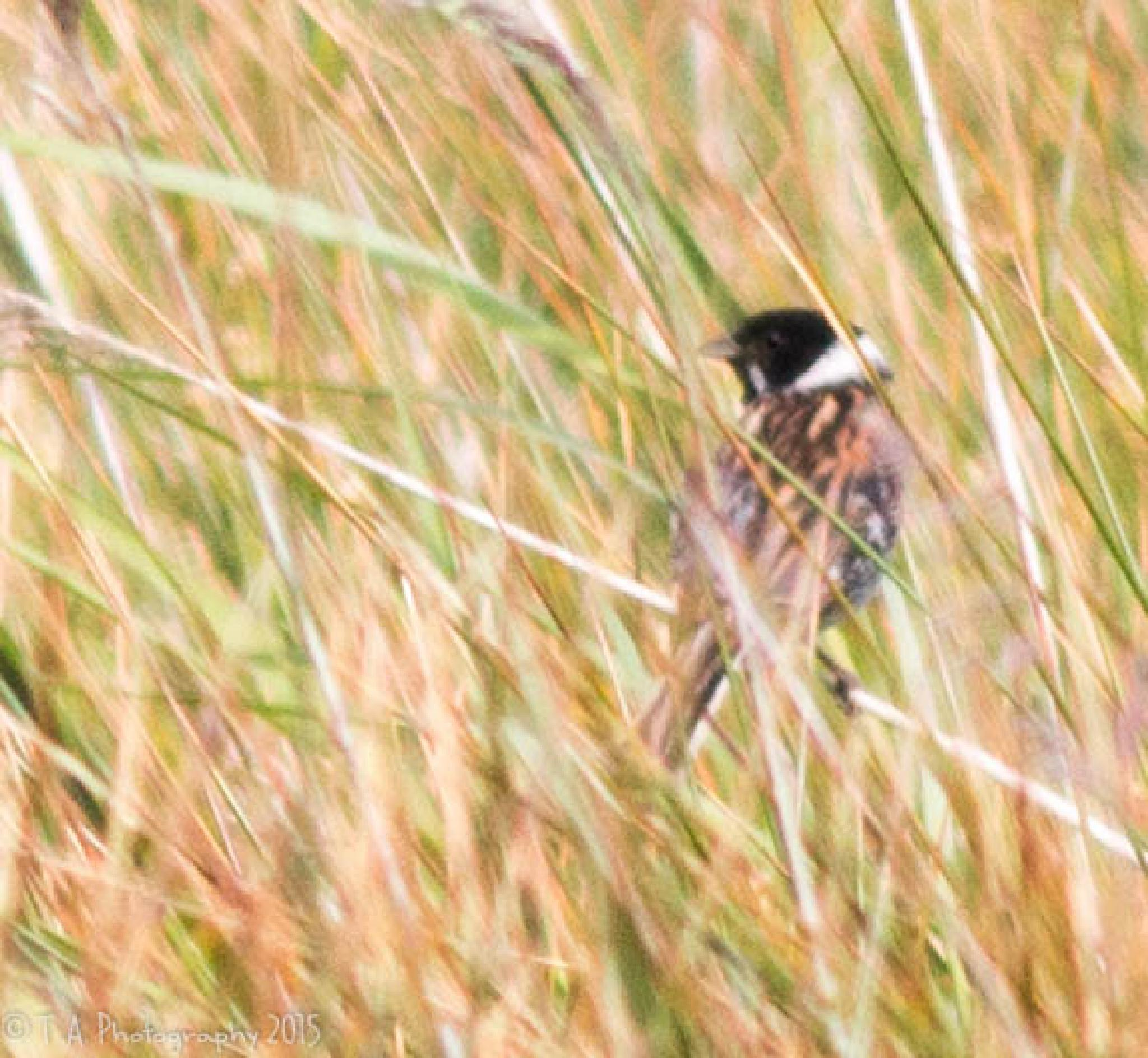 Reed Bunting by Terry Adams