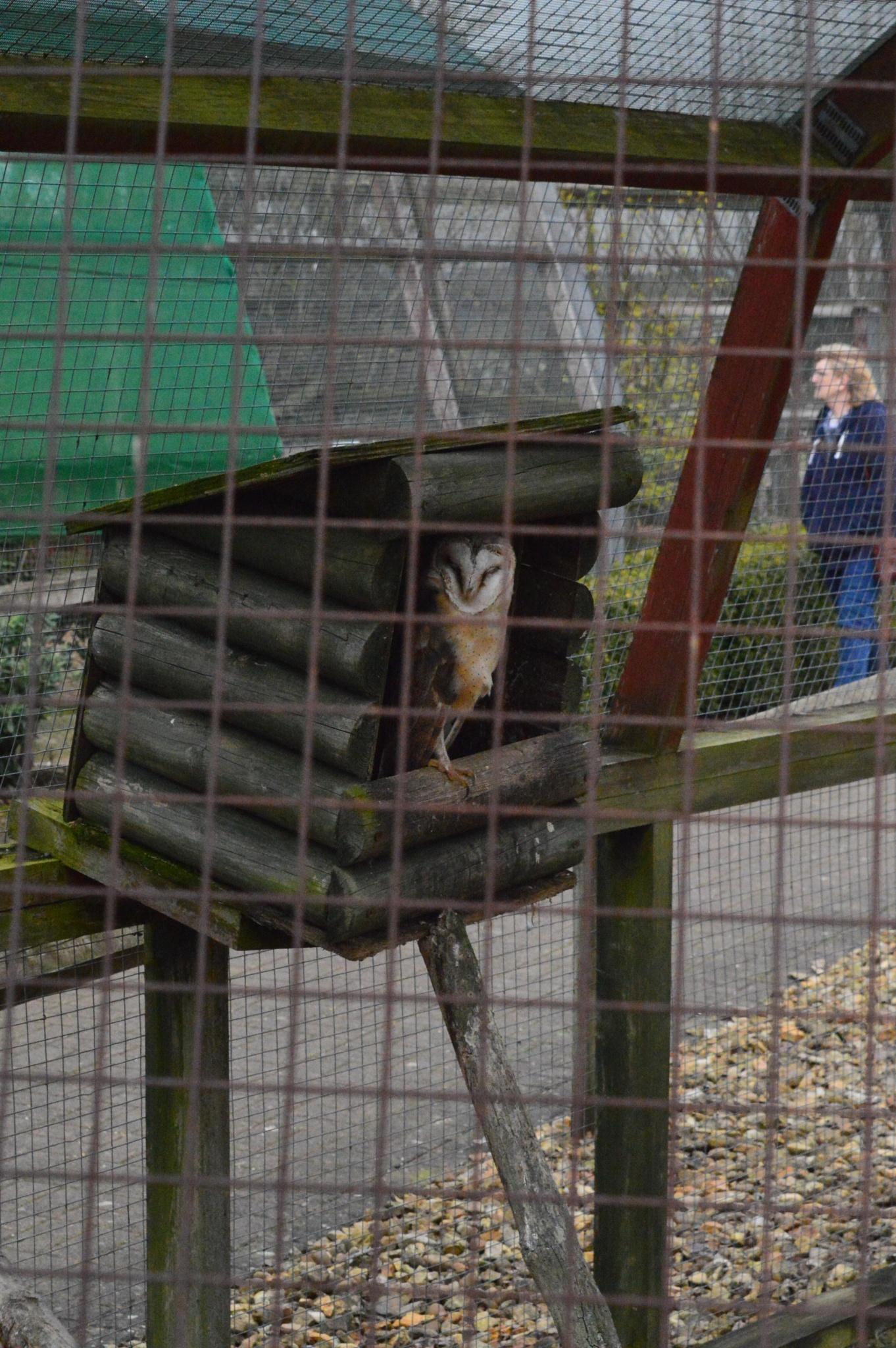 African Barn Owl by Paul Richardson