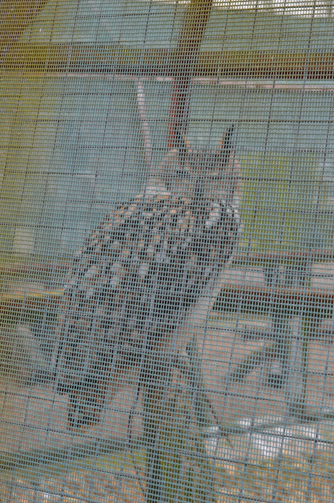 Bengal Eagle Owl by Paul Richardson