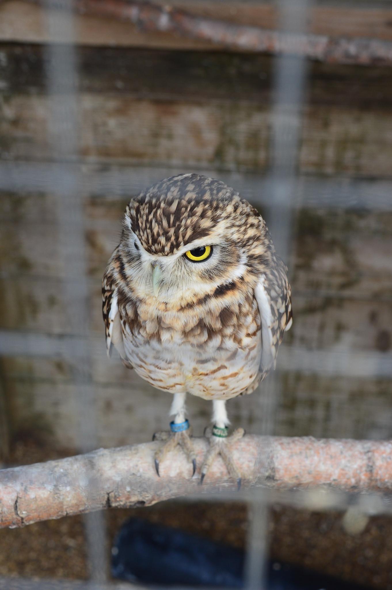 Burrowing Owl by Paul Richardson