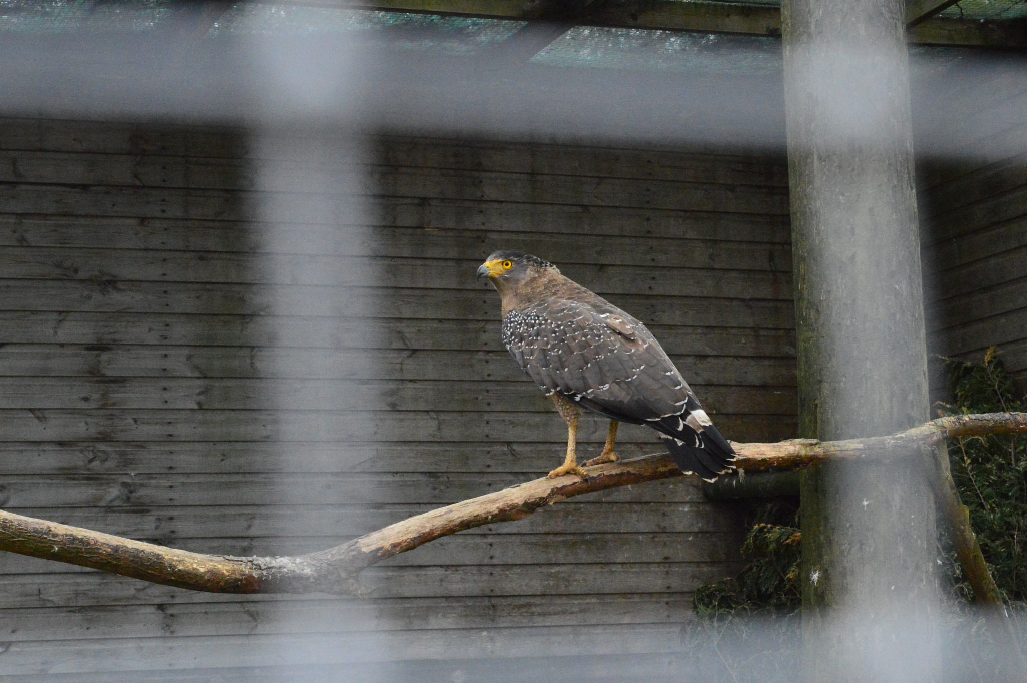 Crested Serpent Eagle by Paul Richardson
