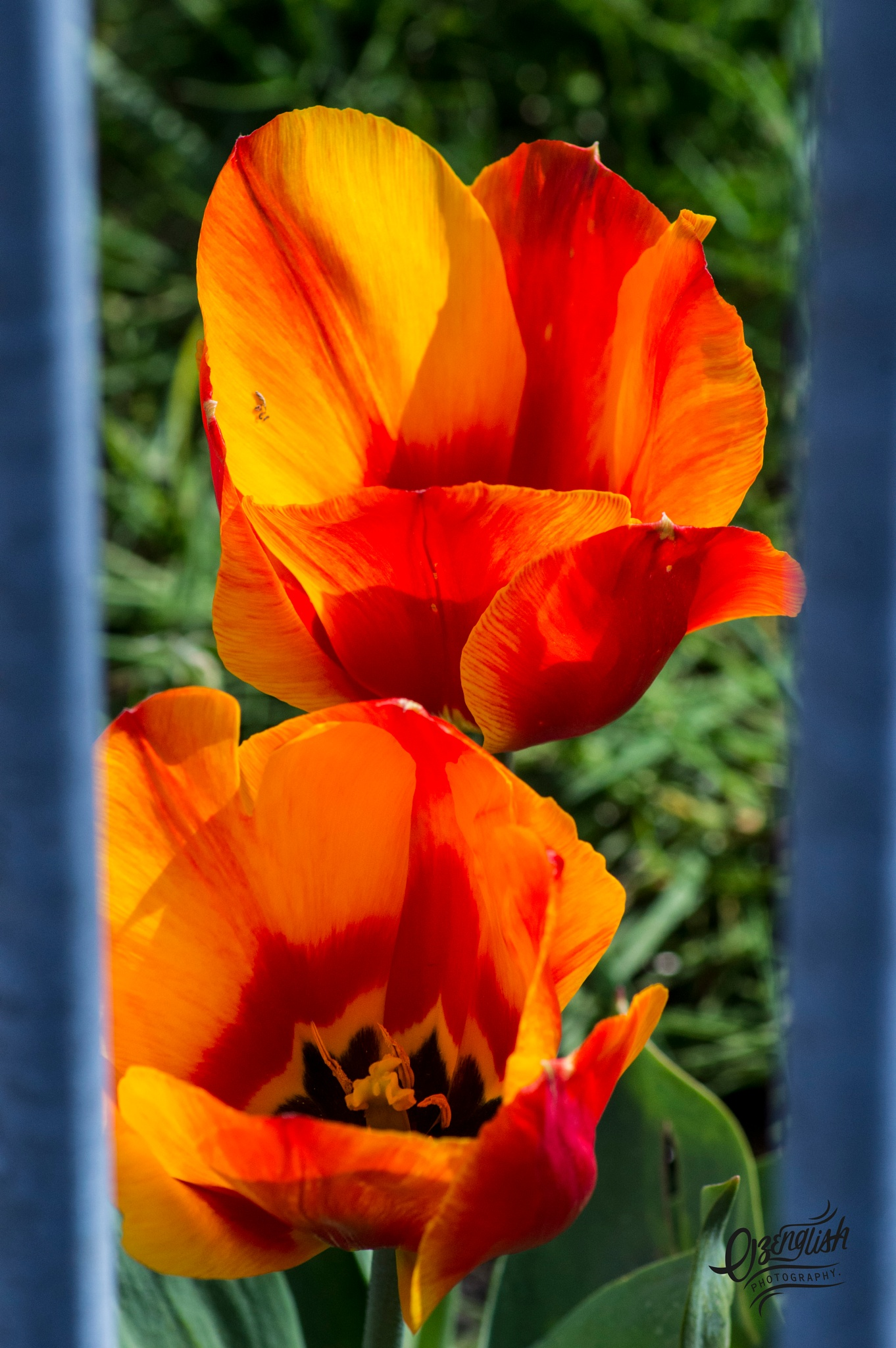 Photo in Nature #jail #flower #beauty #orange #nature #red #black #fire #green #grass #spring #blooms #blossoms