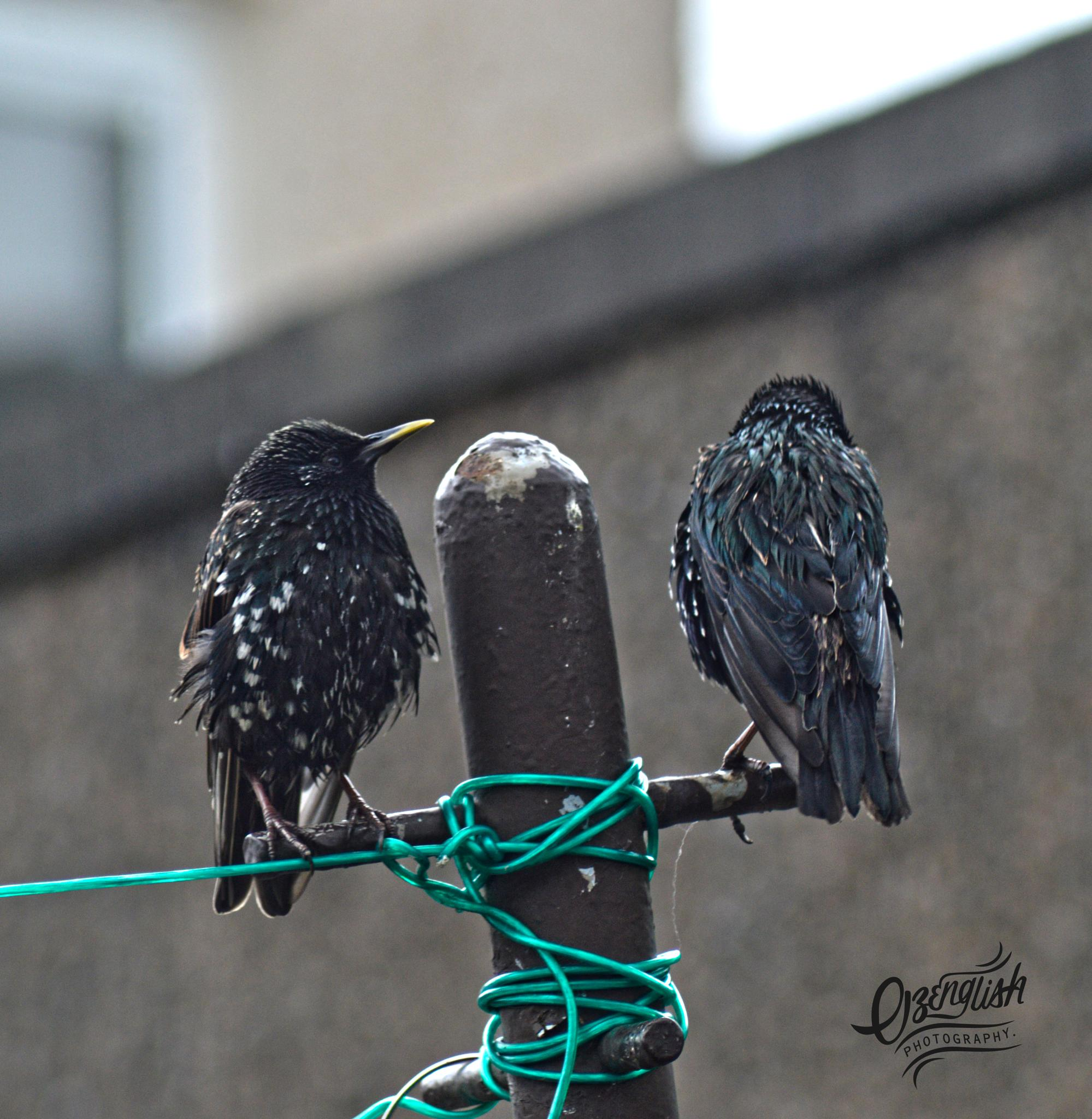 Jackdaws Chilling In High Definition. by Jim Smith