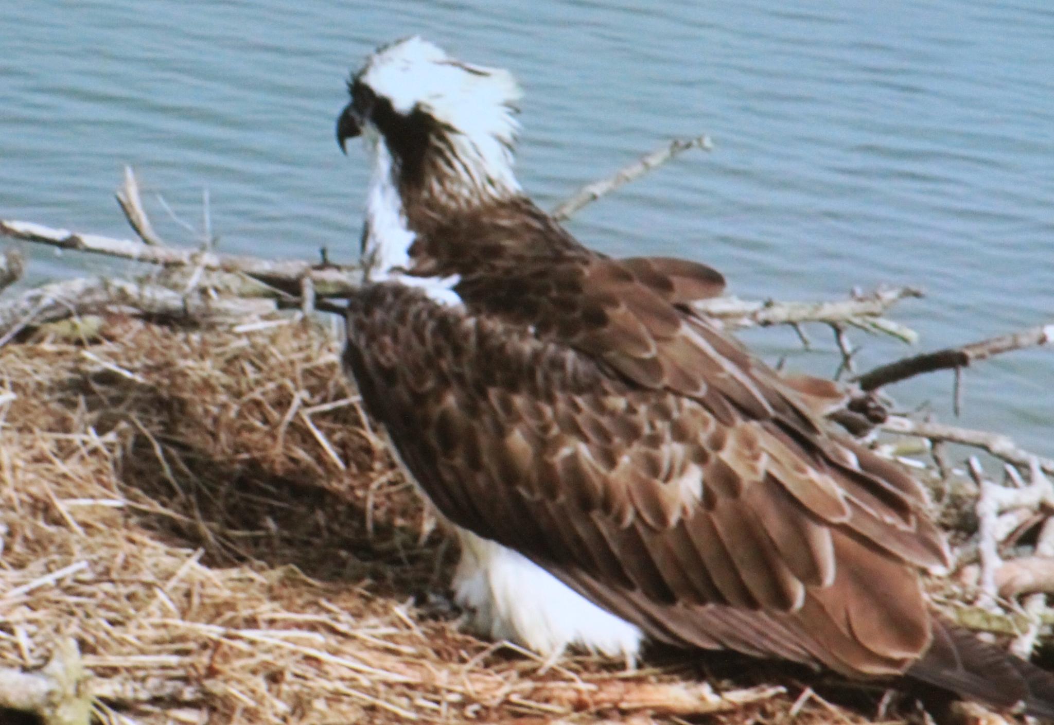 Nesting Osprey  by Rhyd_iculous