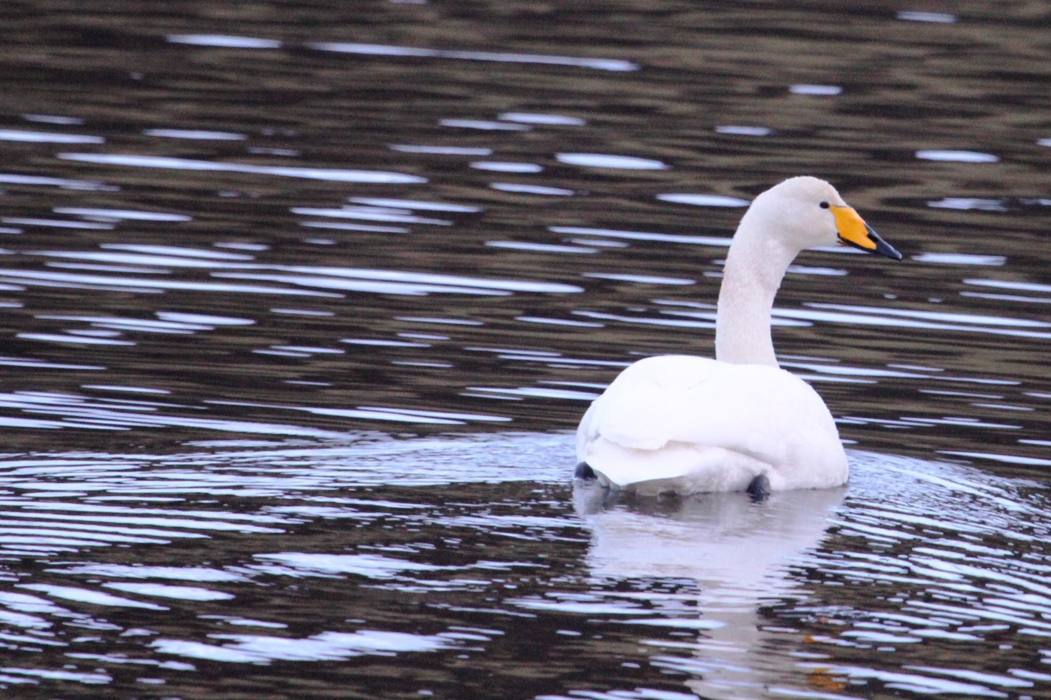 Swan by gordon.j.drummond
