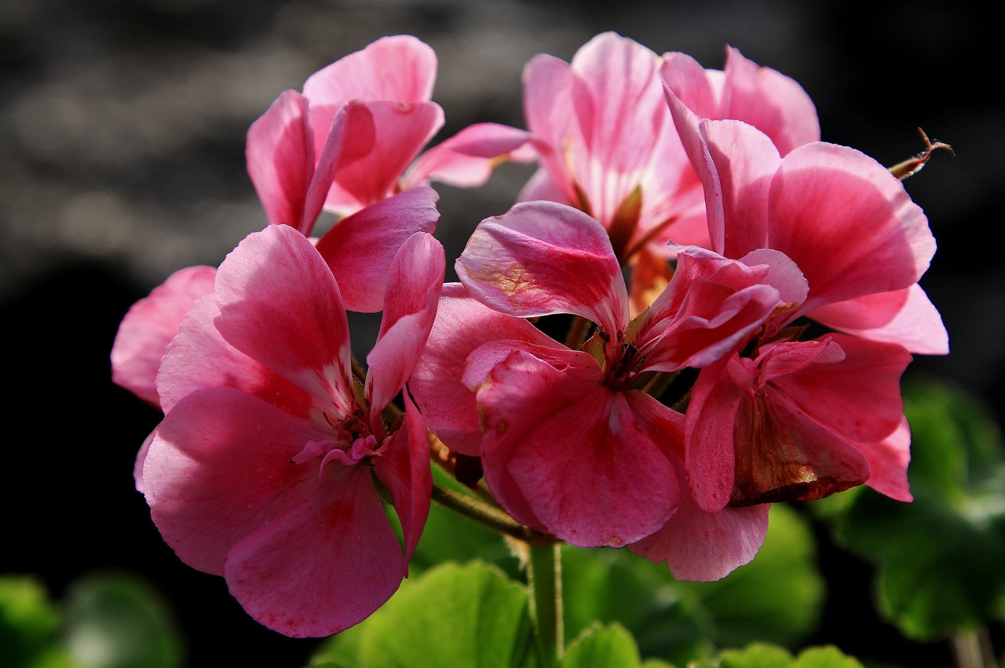Blomma by maxlindholm.54