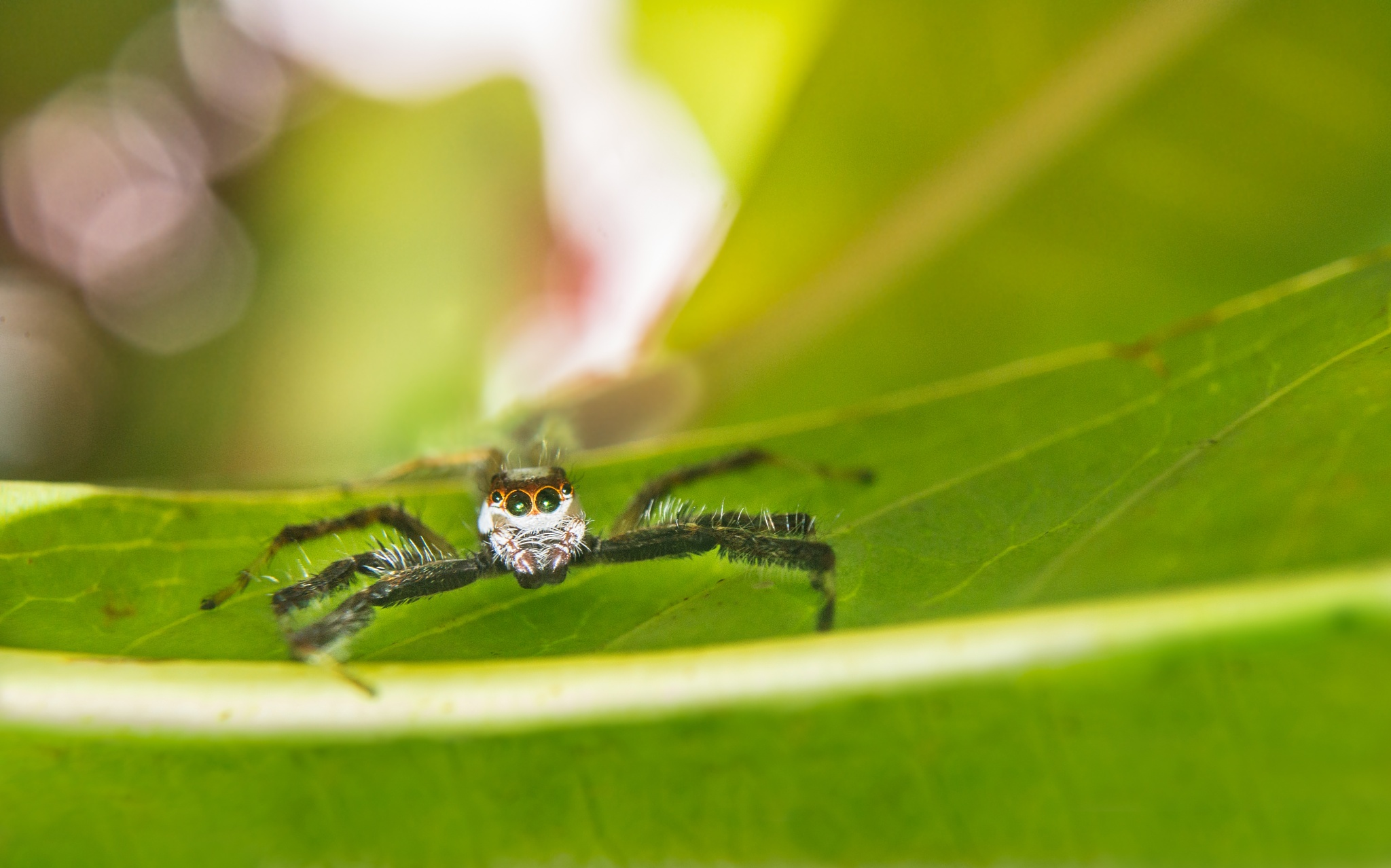 Jumping Spider by Akash Dey