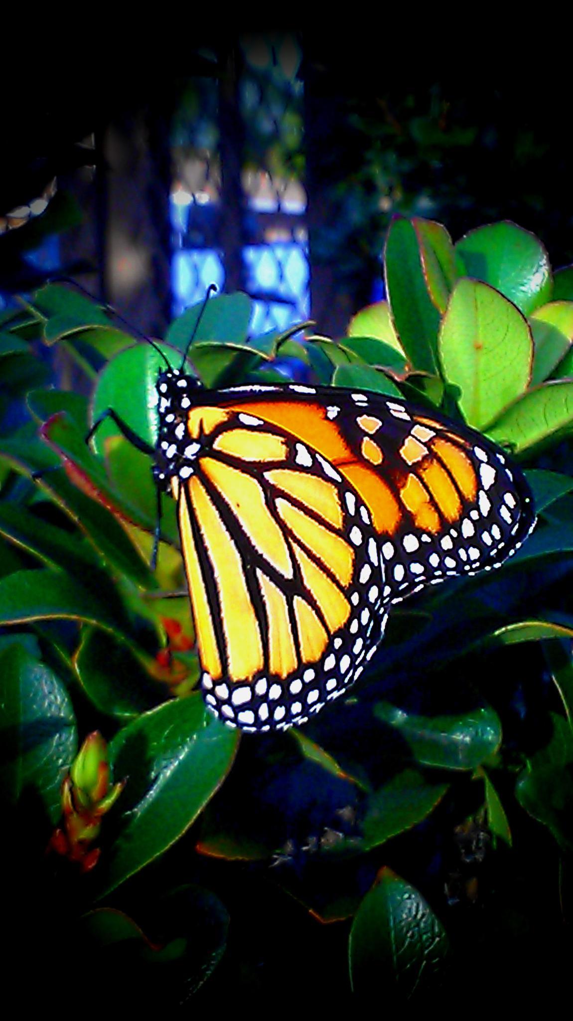 Monarch by rhonda.j.lewis