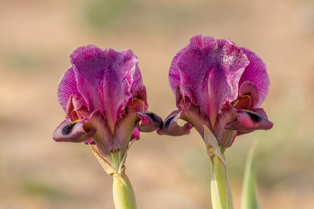 Iris flowers by Nikolay Tatarchuk