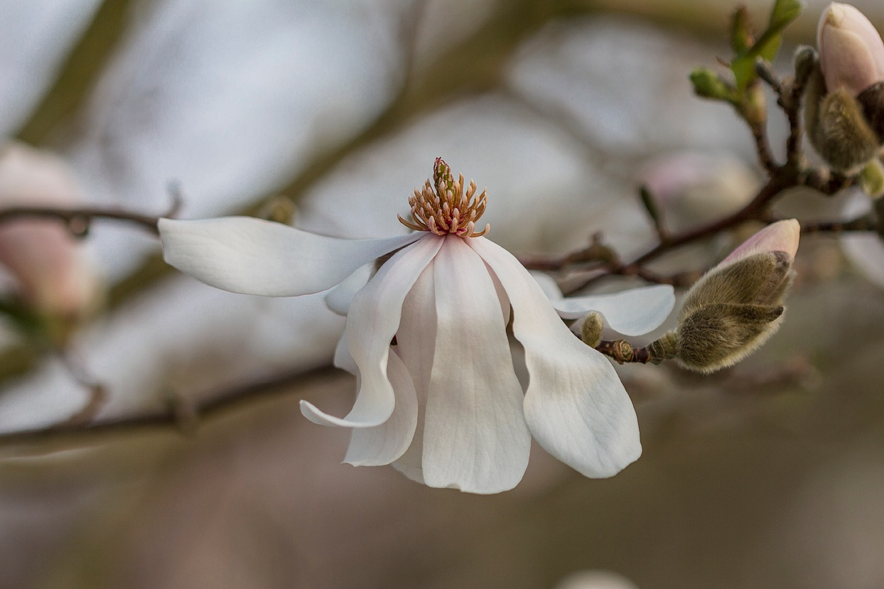 Magnolio by cruz.jimenezgomez