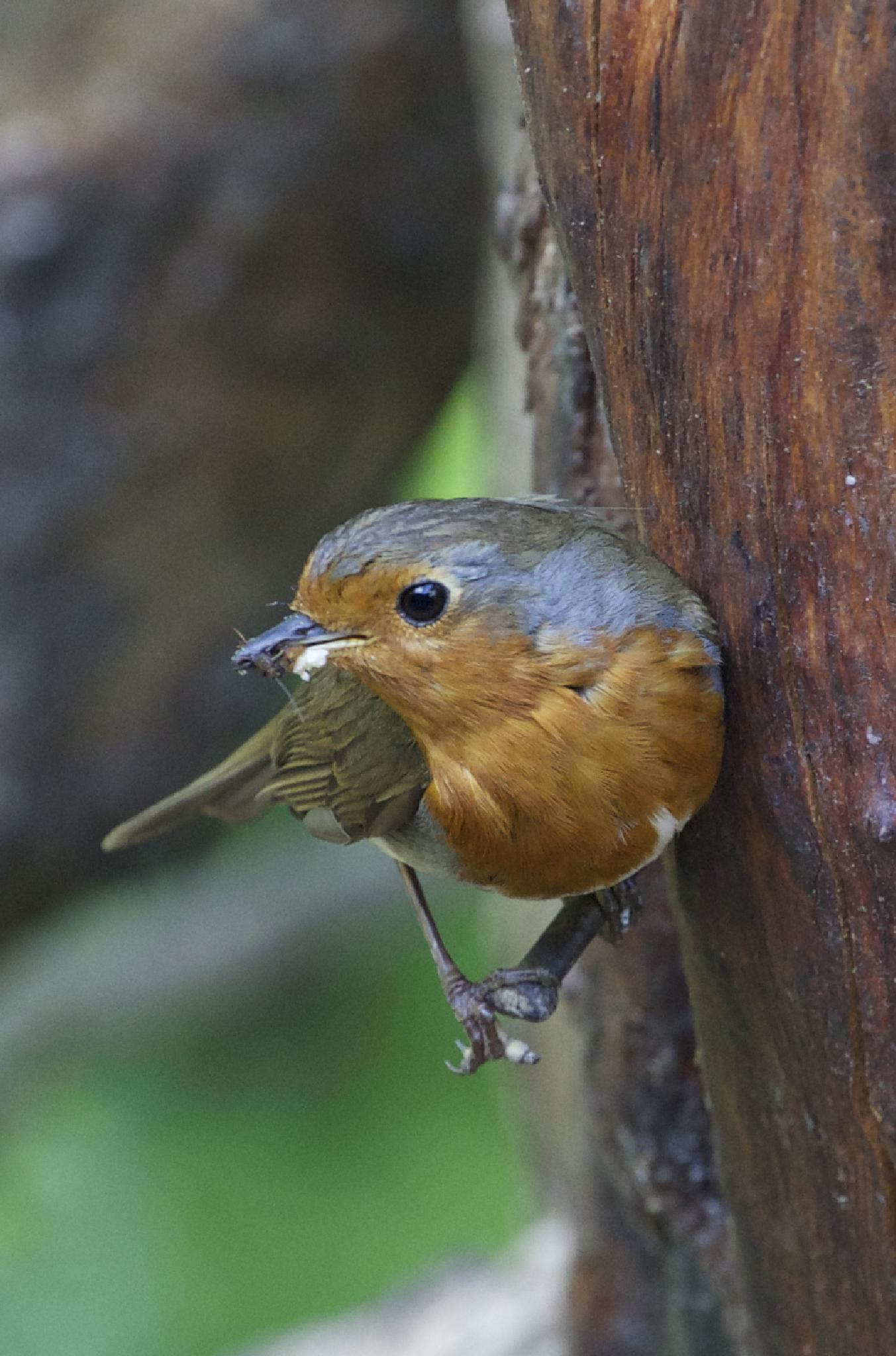 Perching Robin by christine.a.pipes