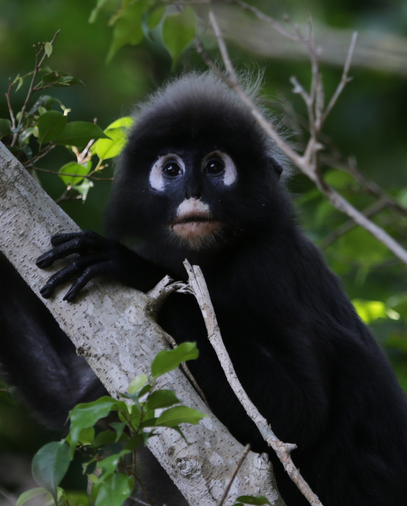 Spectacled Monkey by christine.a.pipes