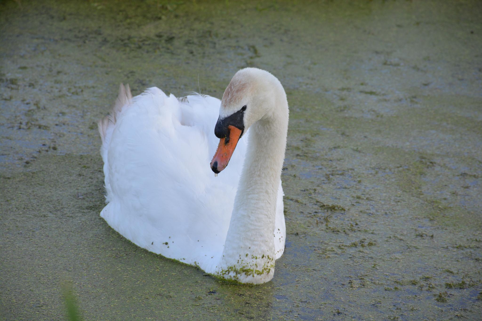 zwaan/swan by viola visbeen